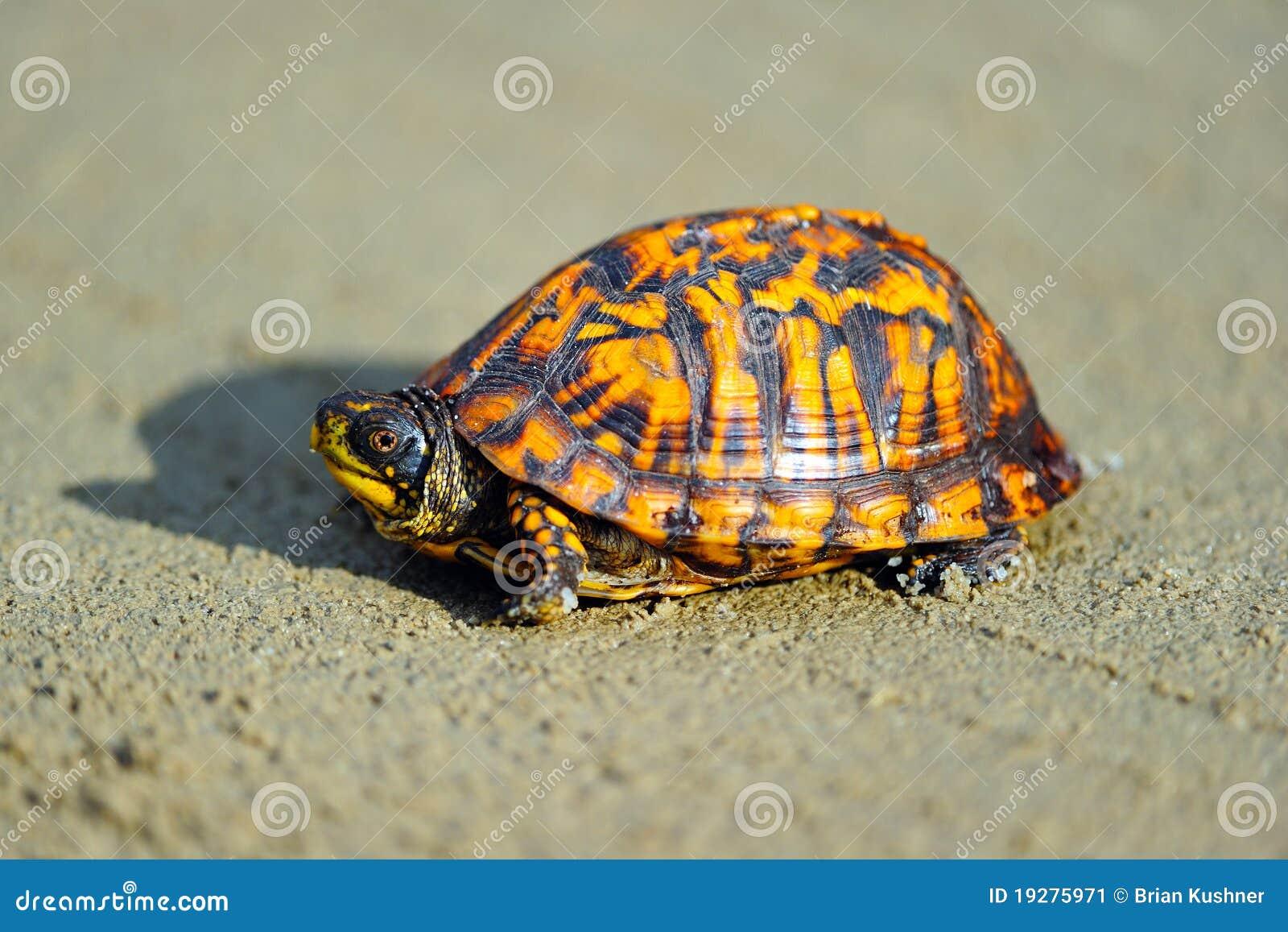 Kasten-Schildkröte