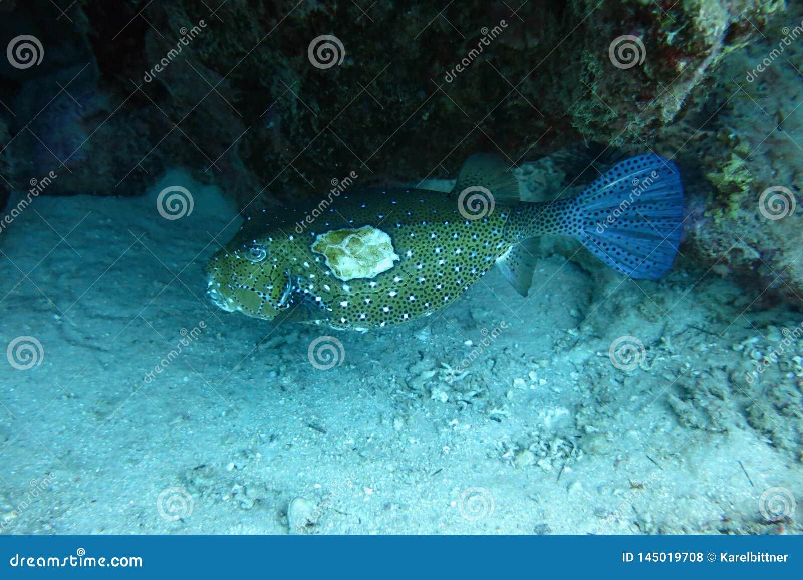 Kastenfische im Roten Meer