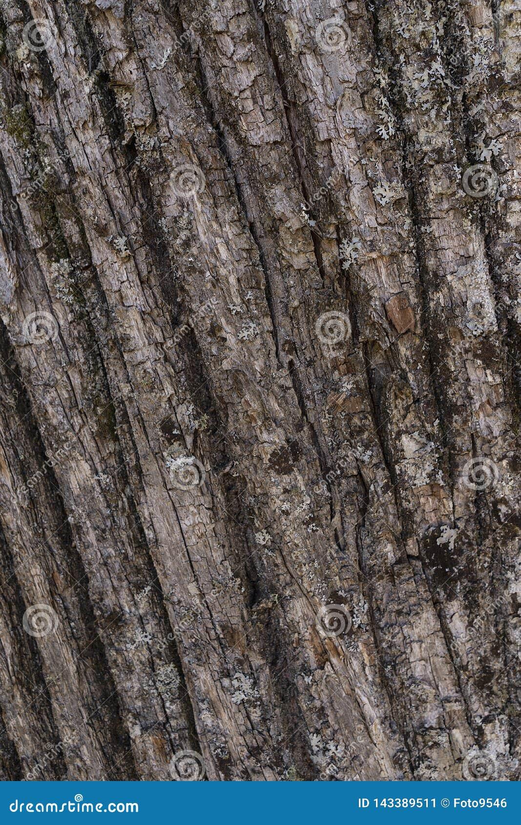 Kasztanu tła korowata un las