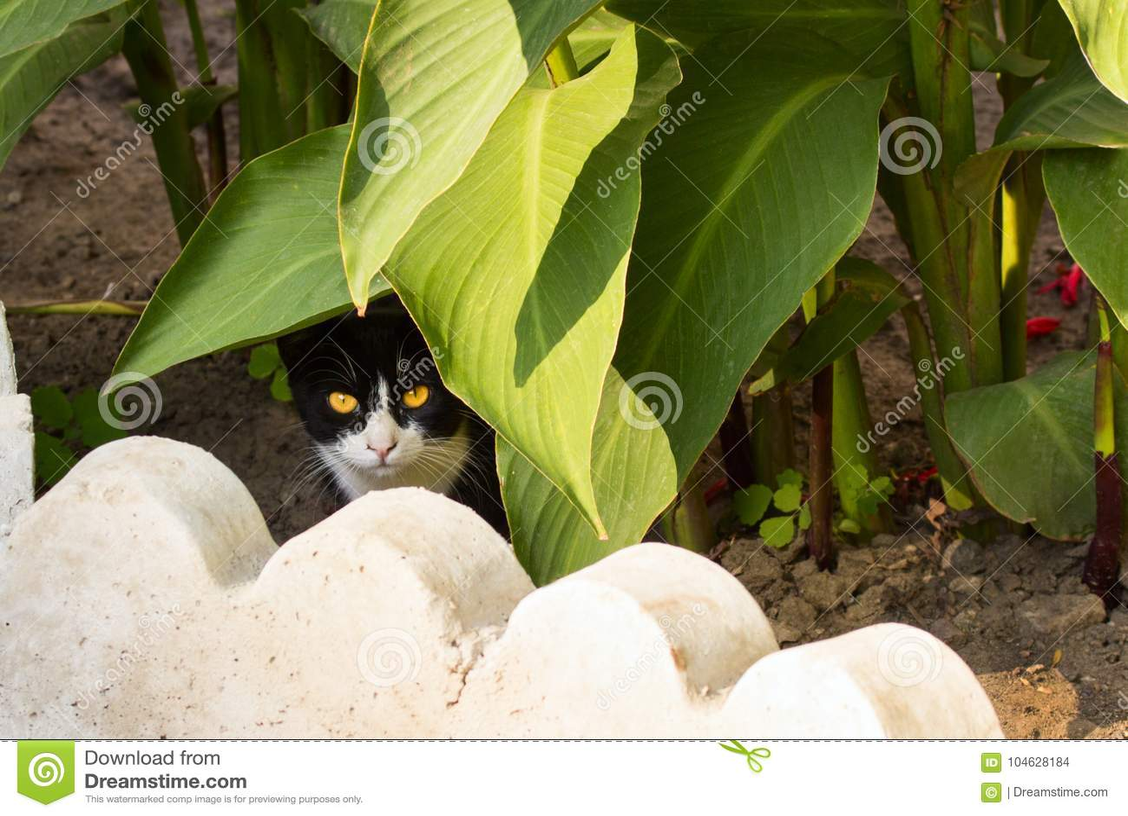 Download Kat Met Een Zwart-wit Gezicht En Heldere Ogen Stock Foto - Afbeelding bestaande uit gezicht, helder: 104628184
