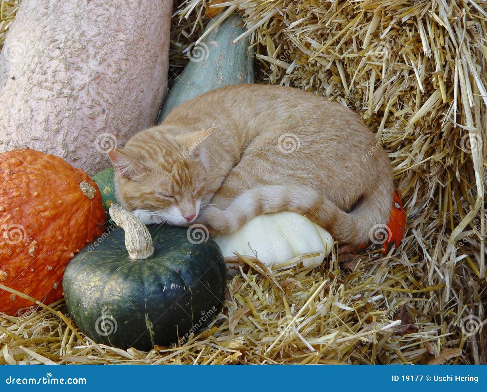 Kat op pompoenen