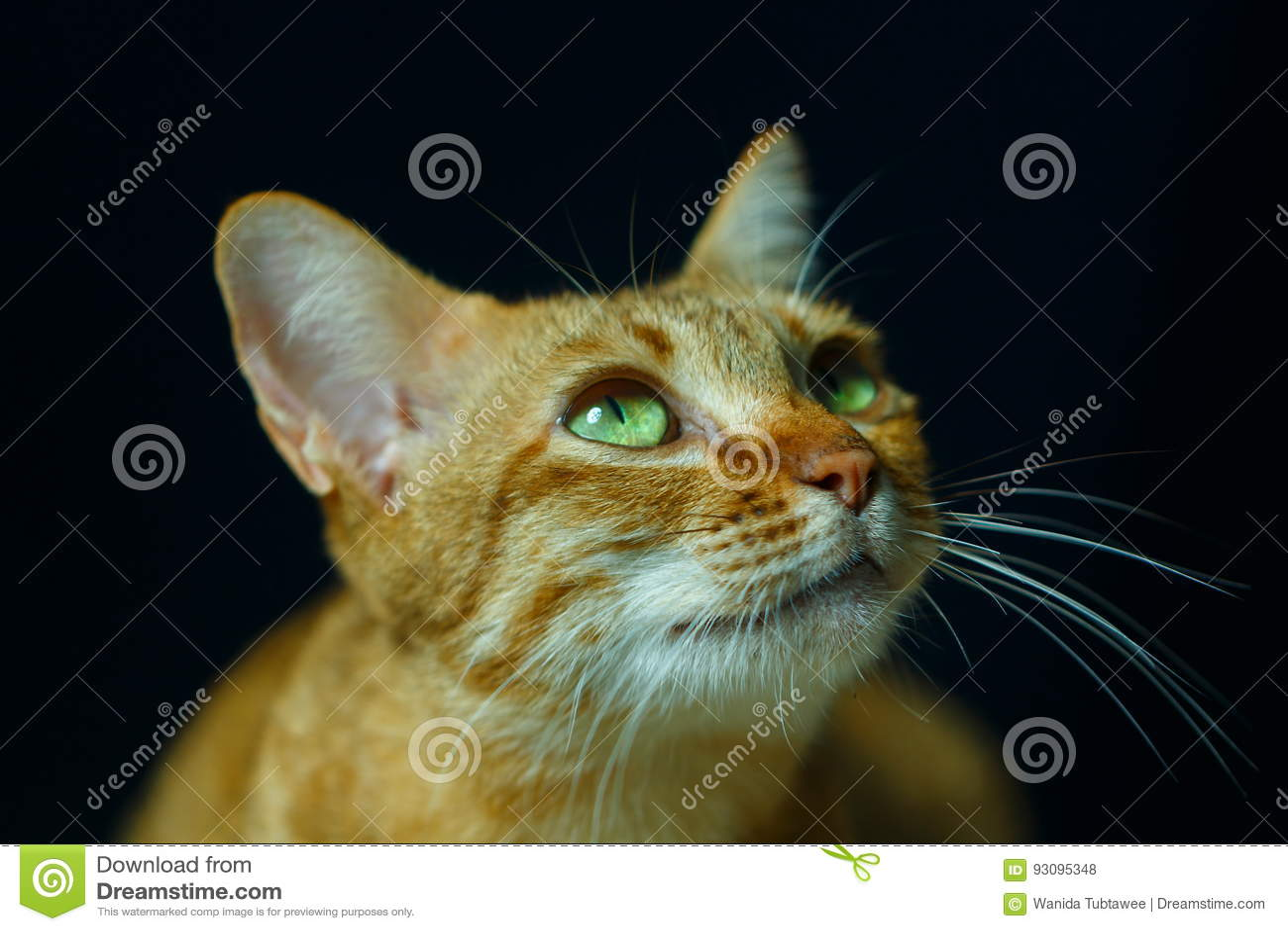Kat, Thaise kat, nadruk op oog
