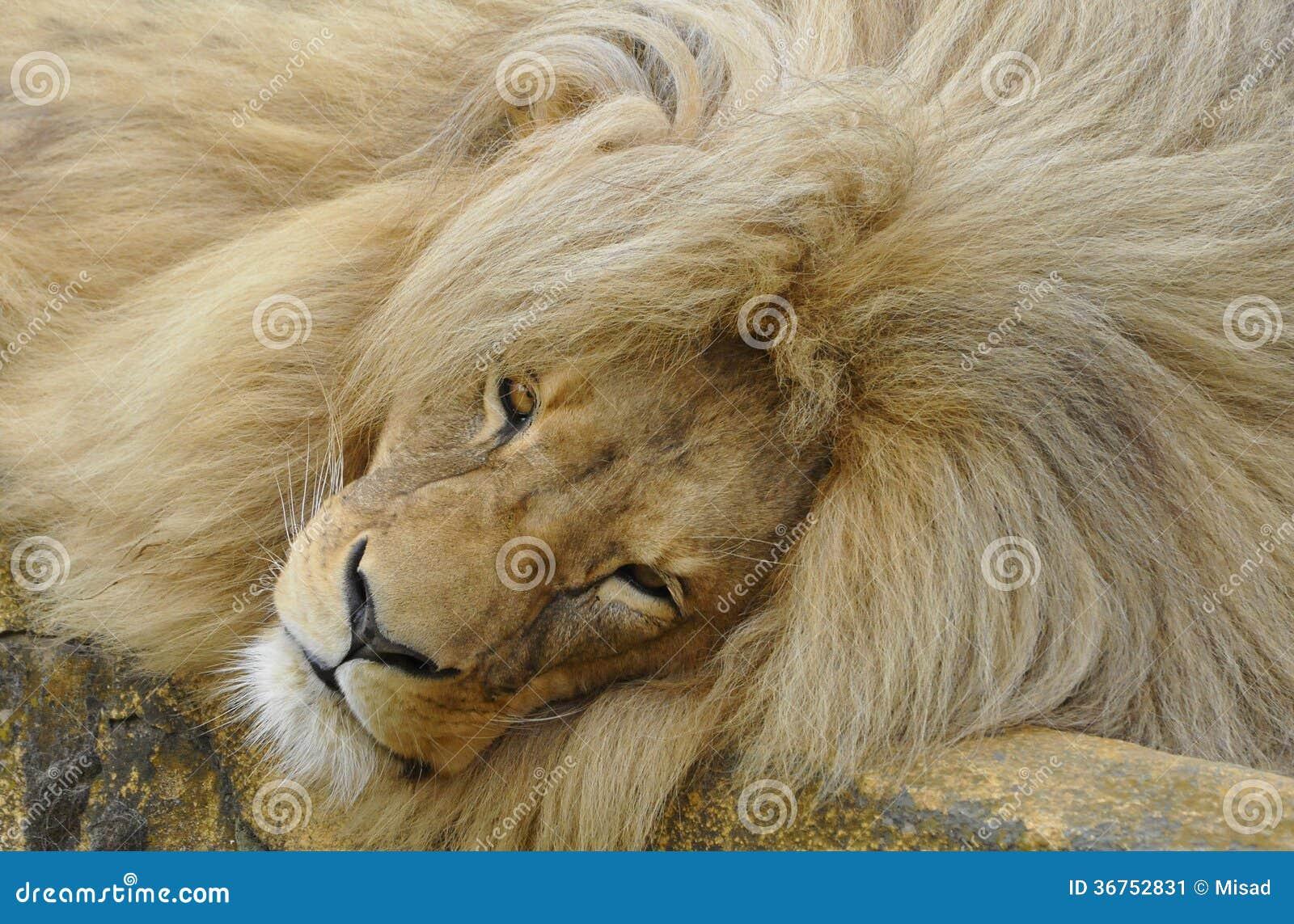 Katanga lion with a big mane is resting Katanga Lion