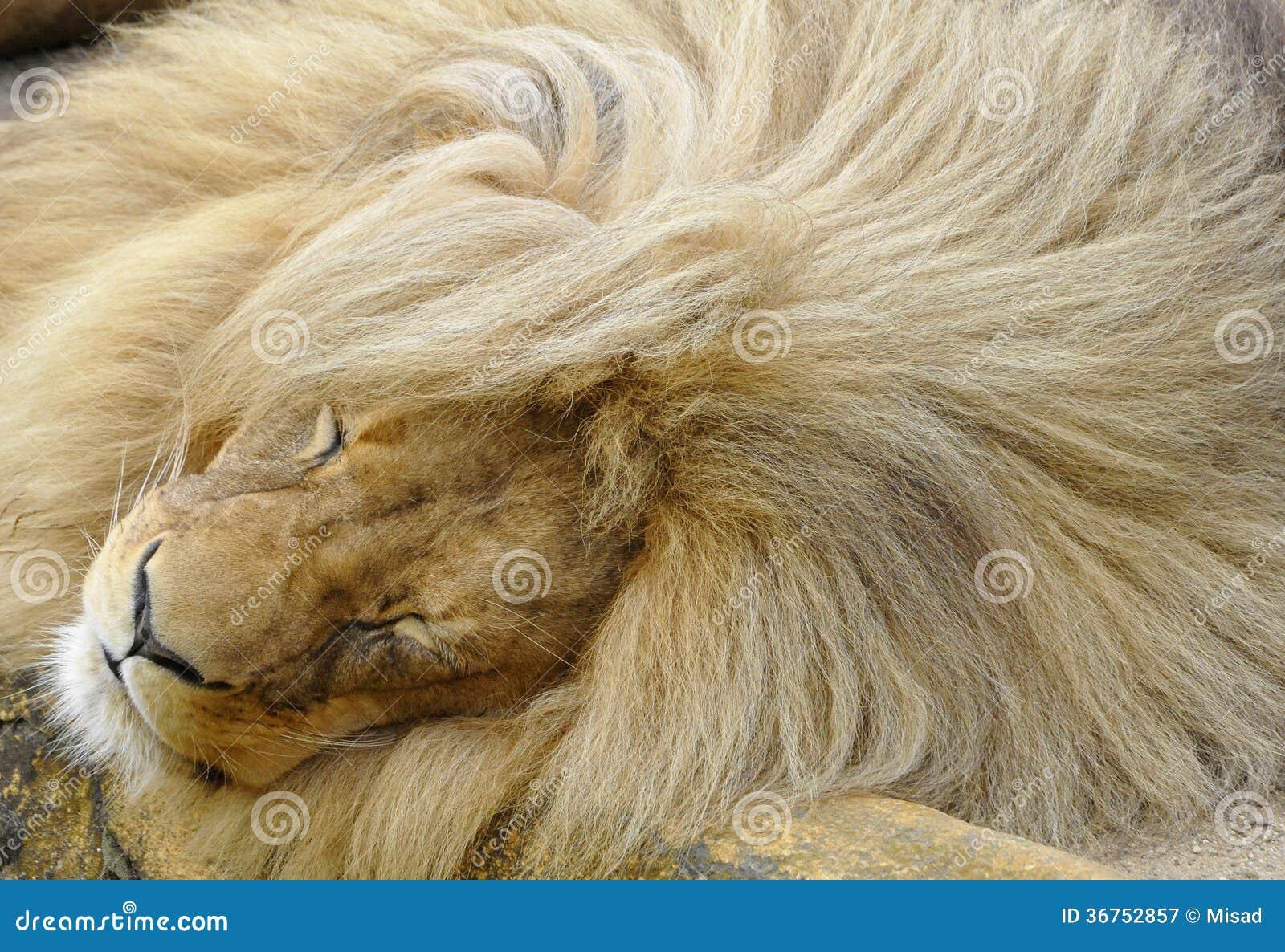 Katanga lion with a big mane is sleeping Katanga Lion