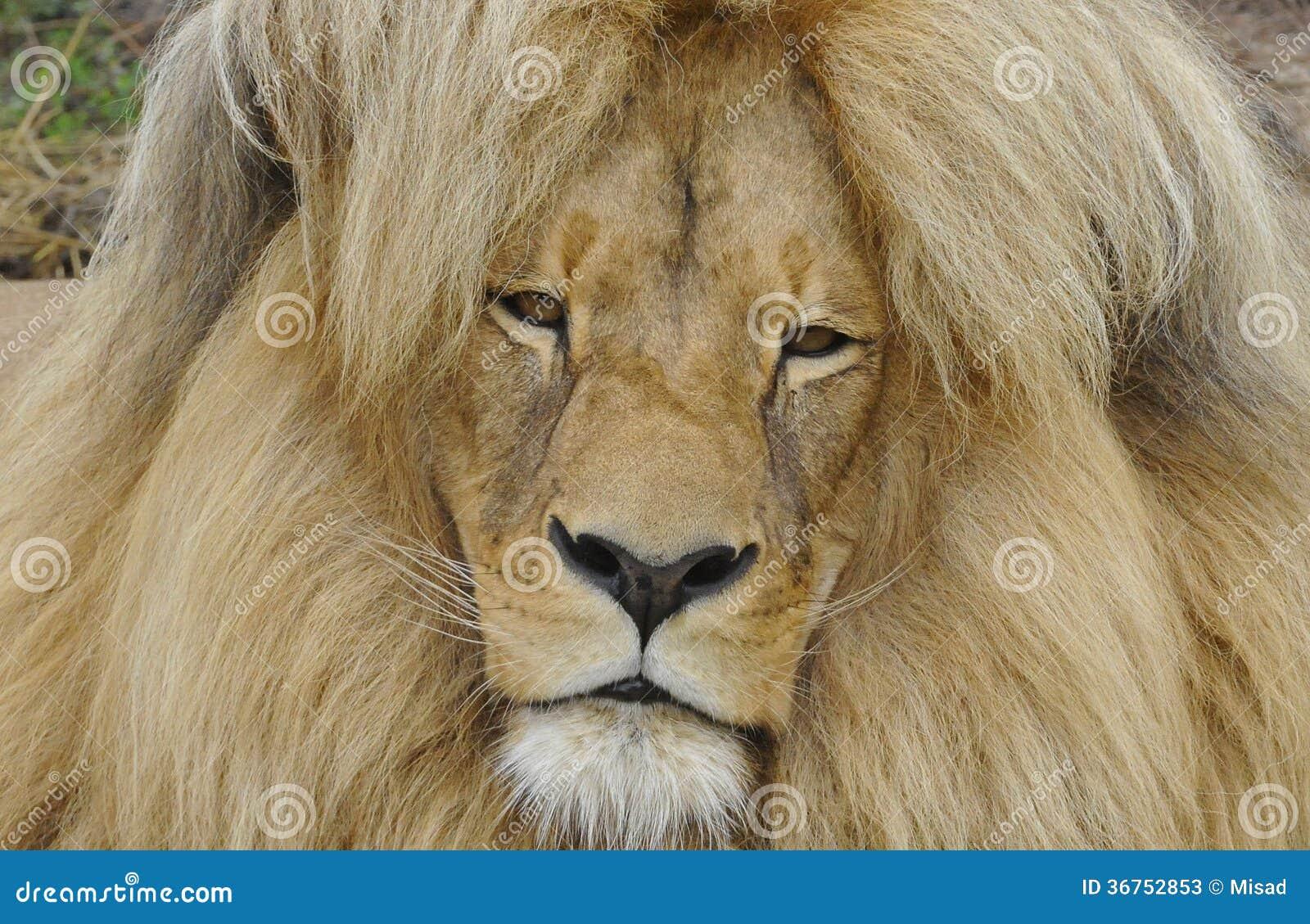 Katanga LionKatanga Lion