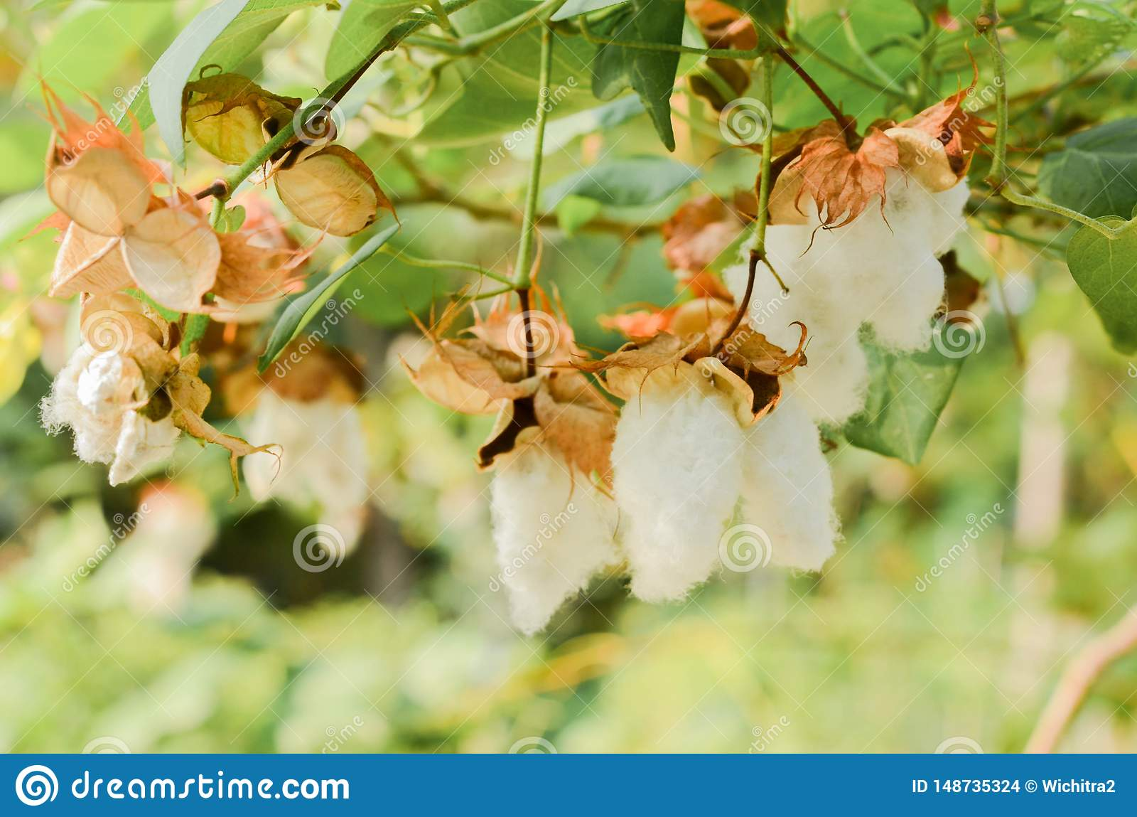 Katoenen Bol of Gossypium-hirsutumbloem