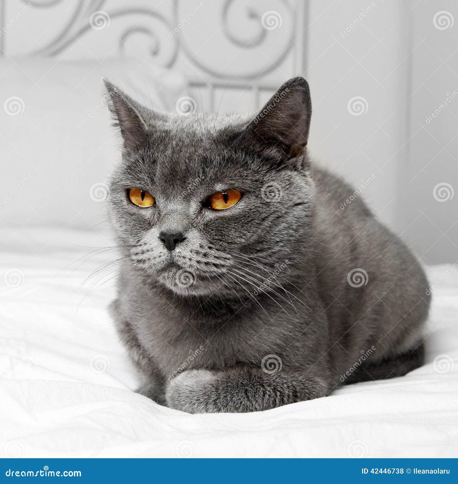 Katt Bbritish för kort hår