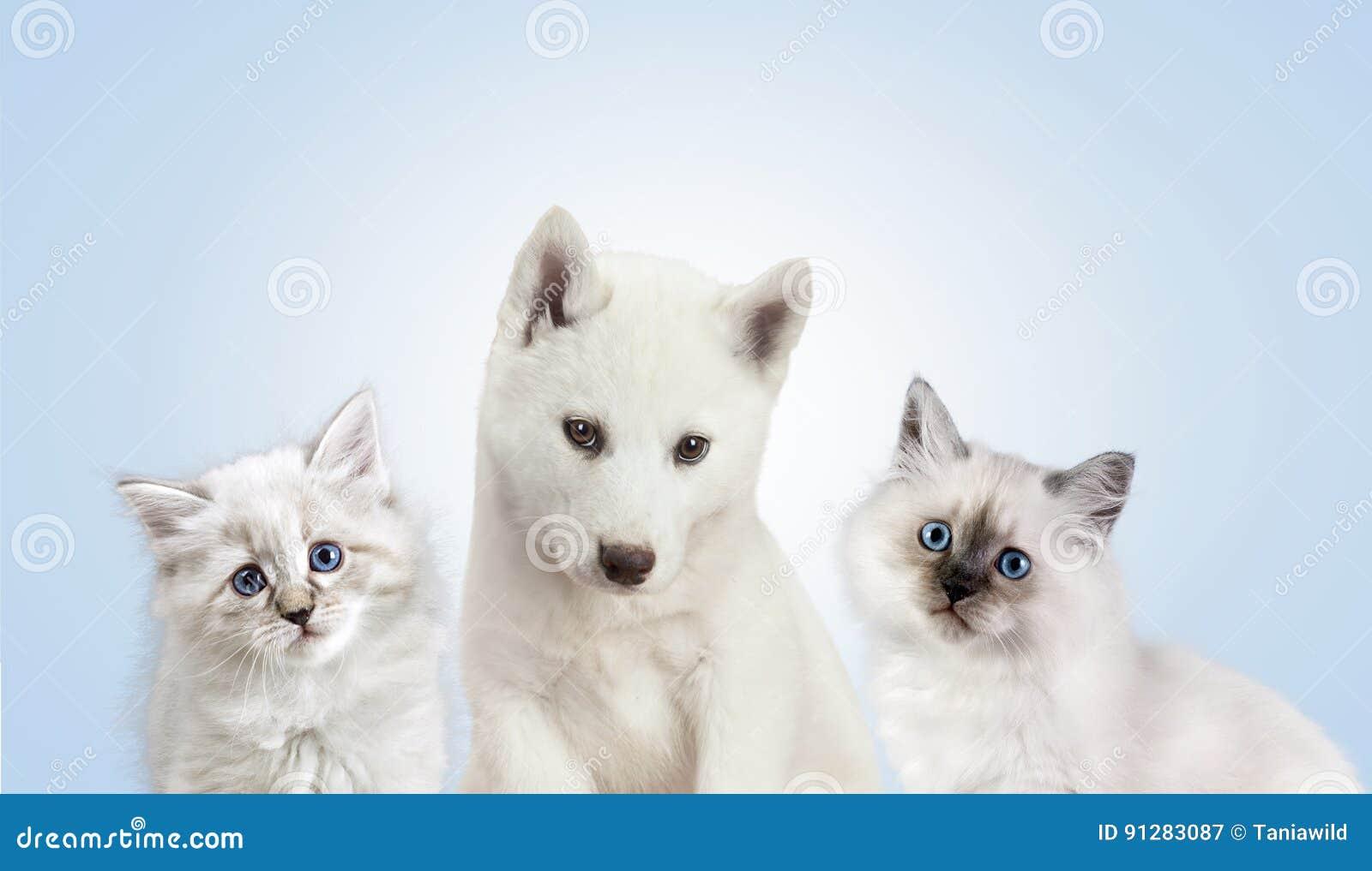 Katt och hund tillsammans, nevamaskeradkattunge, golden retriever