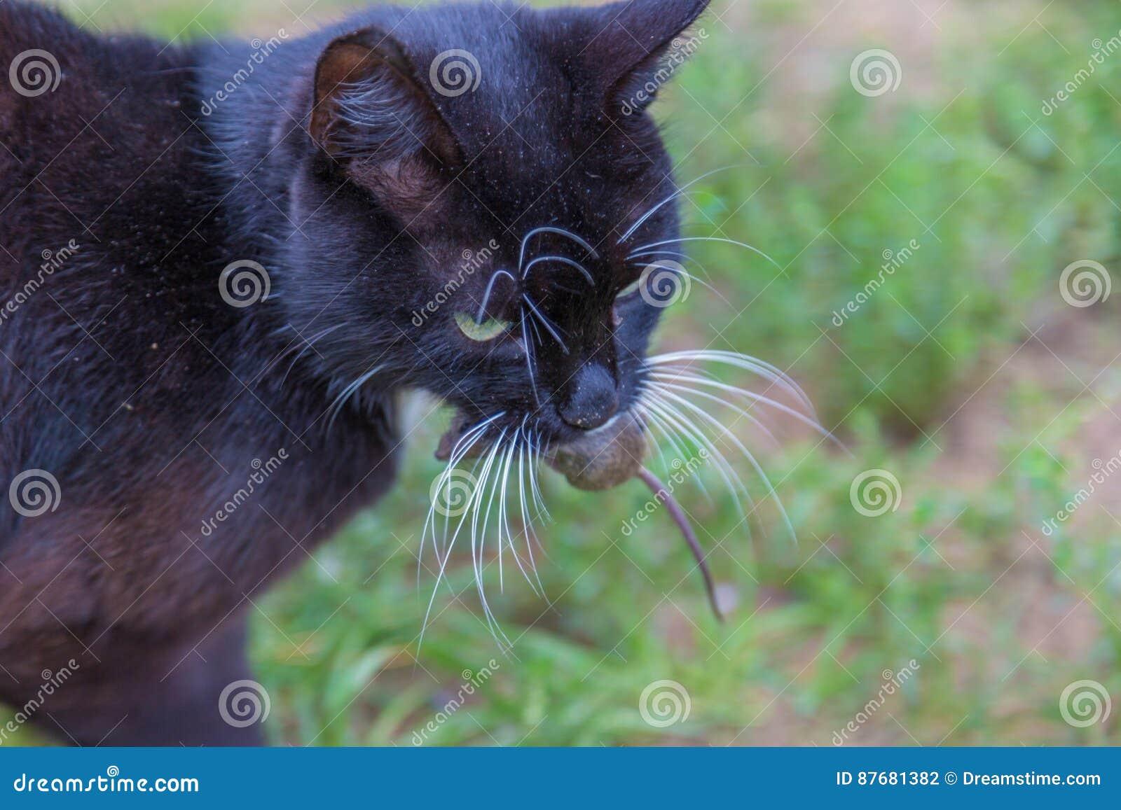 Katten Fångade En Mus Och Håll I Tänder Arkivfoto Bild Av Hungrigt