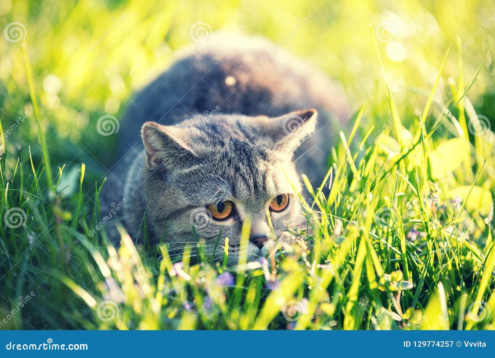 Katten ligger på den gröna gräsmattan
