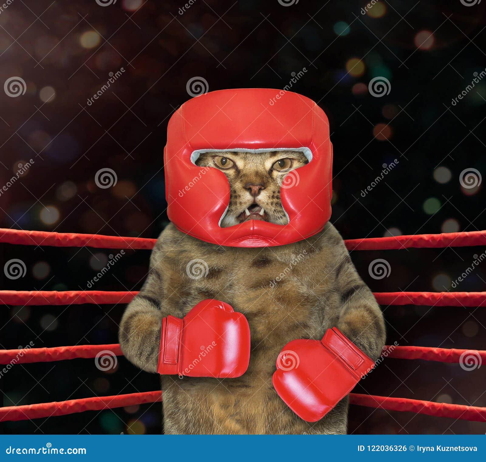 Kattenvechter in boksring