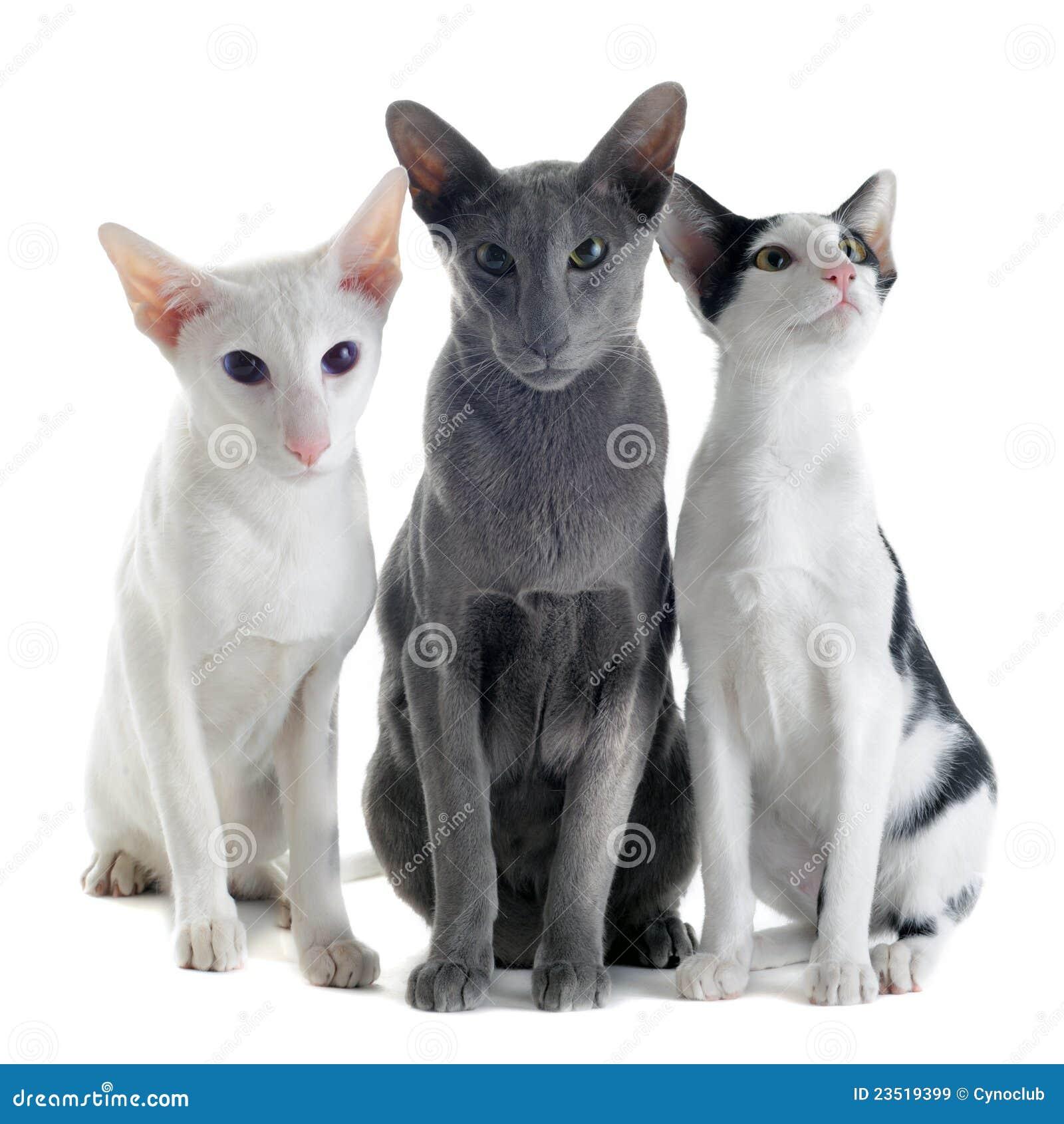 Katter orientaliska tre
