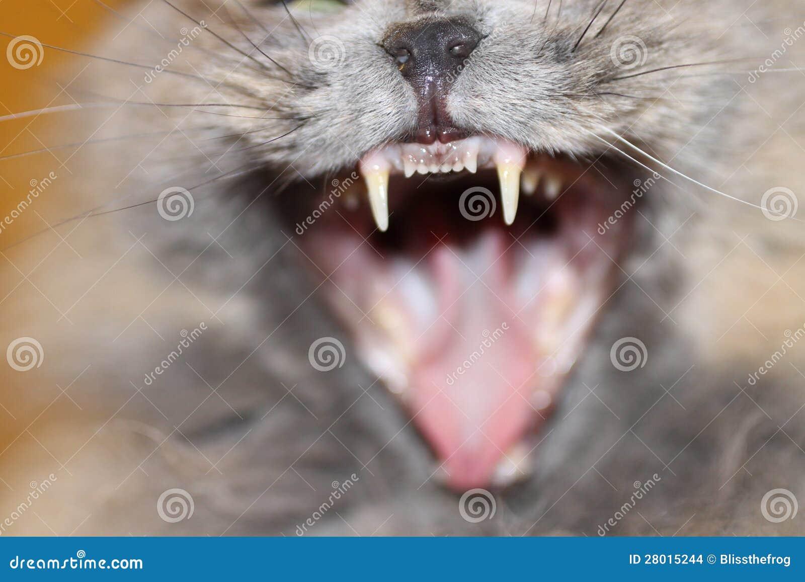 Katthuggtänder