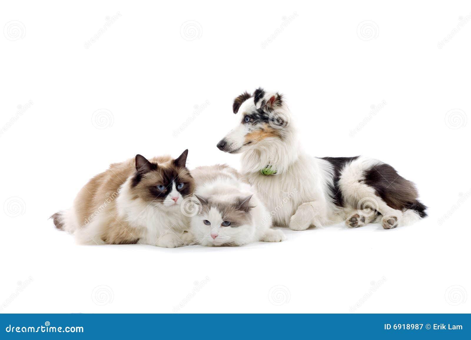 Kattsheepdog två
