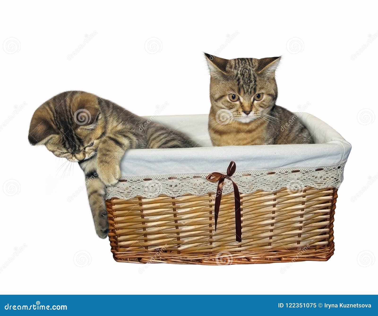 Kattungar i en vide- korg