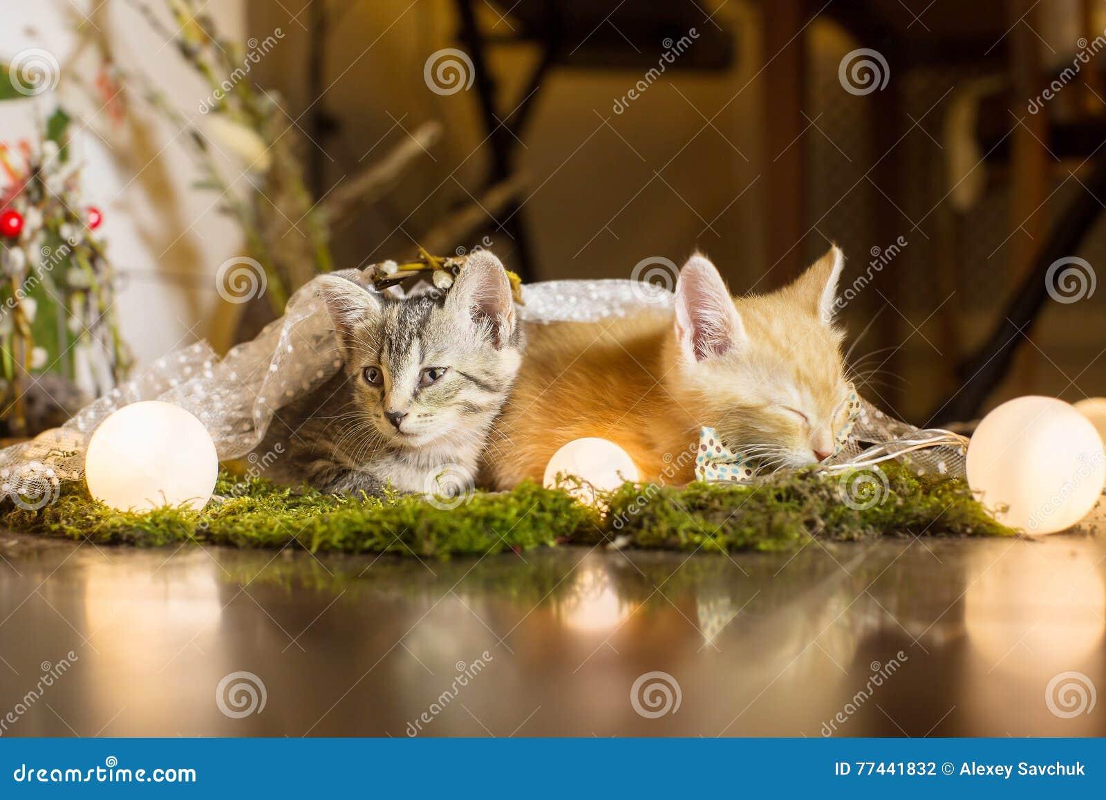 Kattunge två Röd kattunge som bort sover, färgrika blickar
