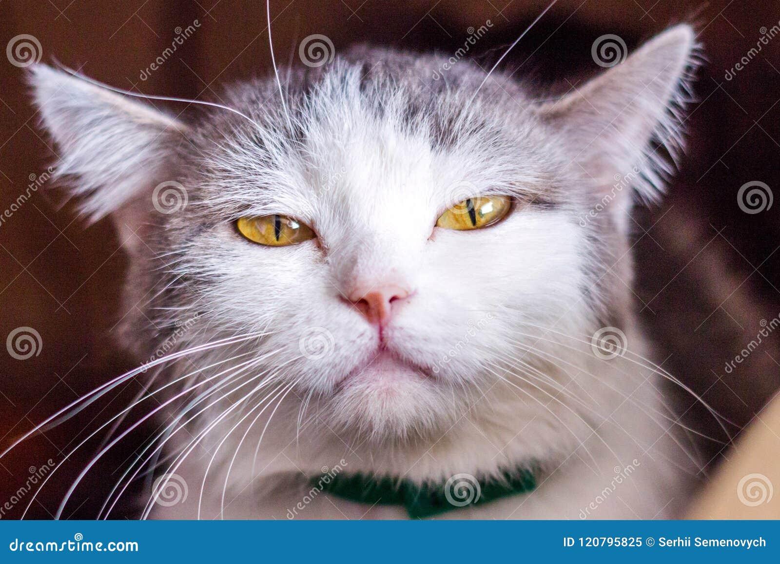 Kattväsande ljuden, gapar, grinar Tysta ned den stora katten Stående Du kan se huggtänderna, tänderna Stor katt, grått, fluffigt