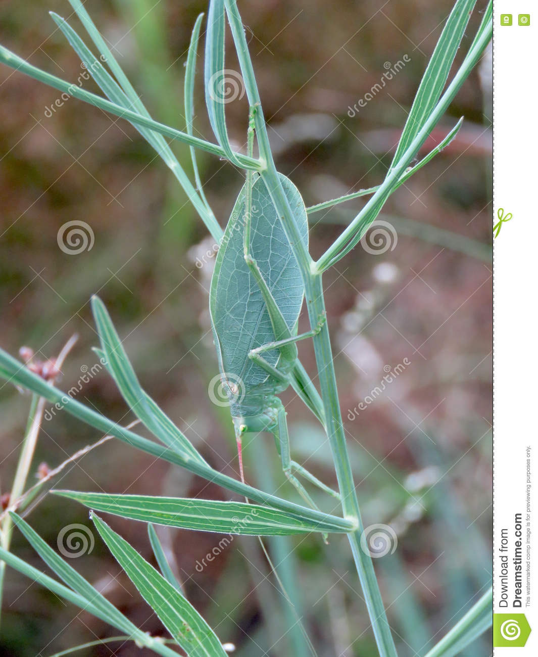 katydid or green grasshopper looks like a leaf royalty. Black Bedroom Furniture Sets. Home Design Ideas