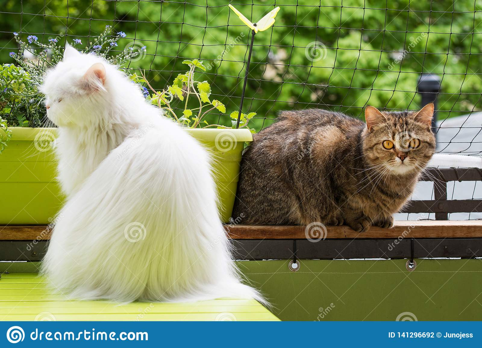 White Persian Cat And Brown Tabby Cat On Balcony Stock Photo Image Of Camera Green 141296692