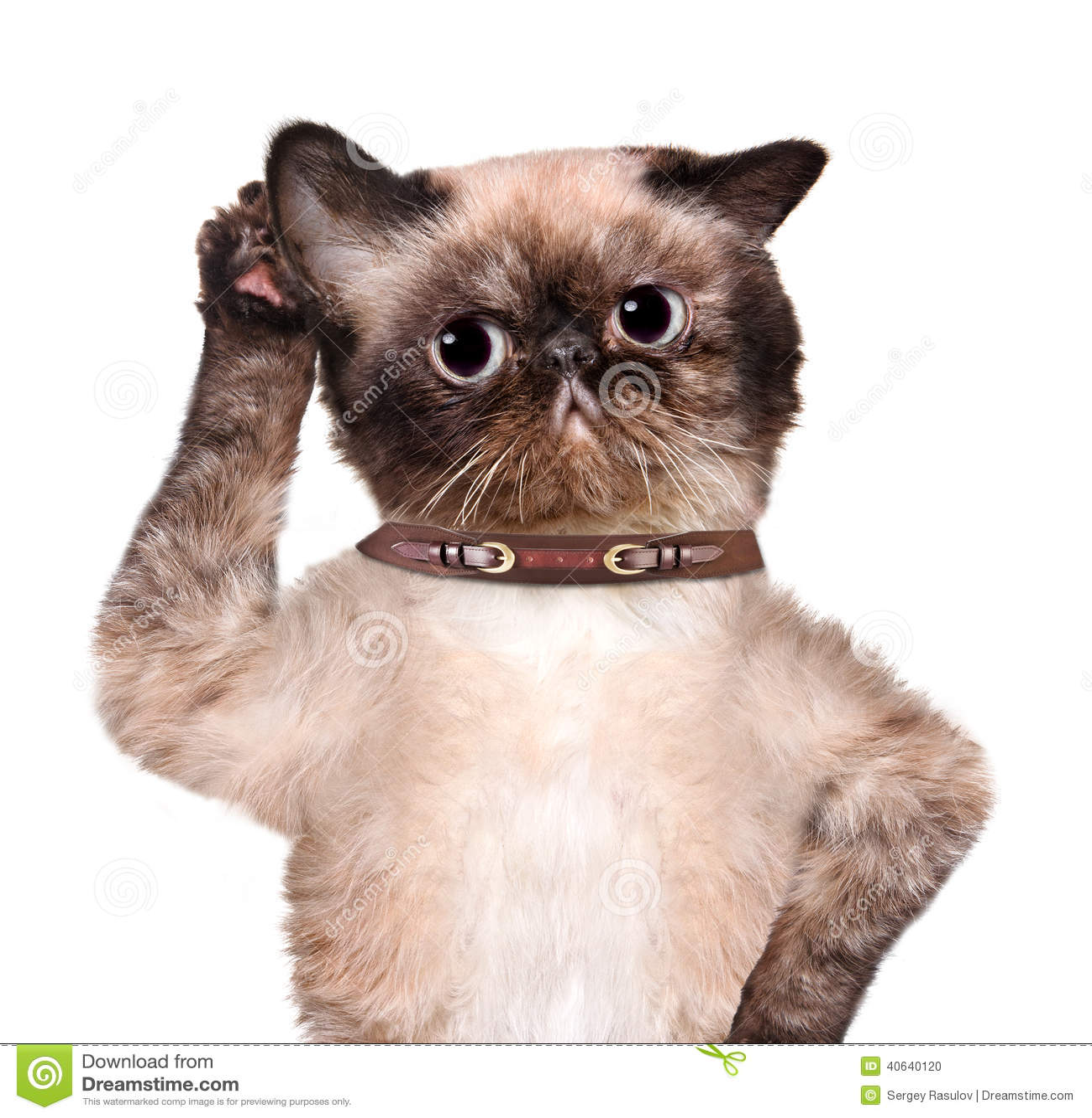 Katze, die mit dem großen Ohr hört