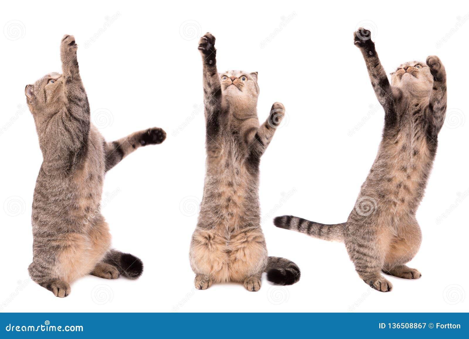 Katze fängt Tatzen auf einem weißen Hintergrund Spielen der Katze