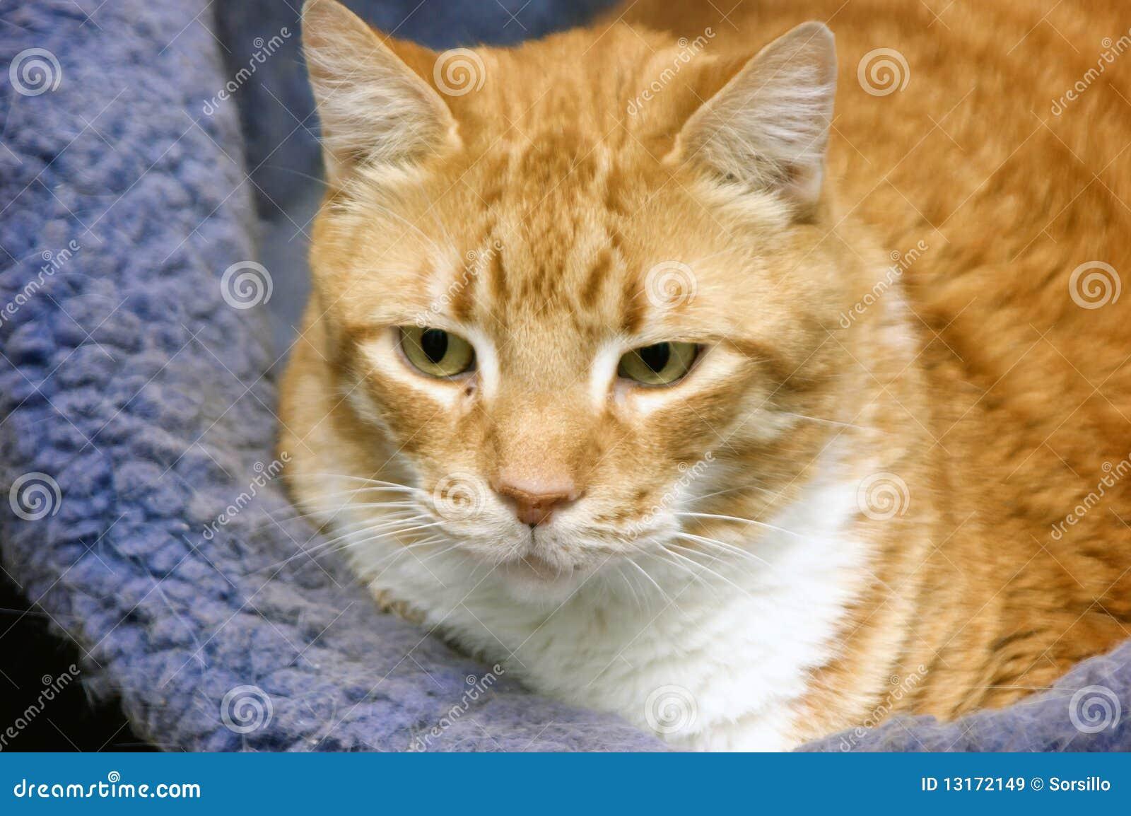Katze im Bett stockbild. Bild von haustier, stillstehen