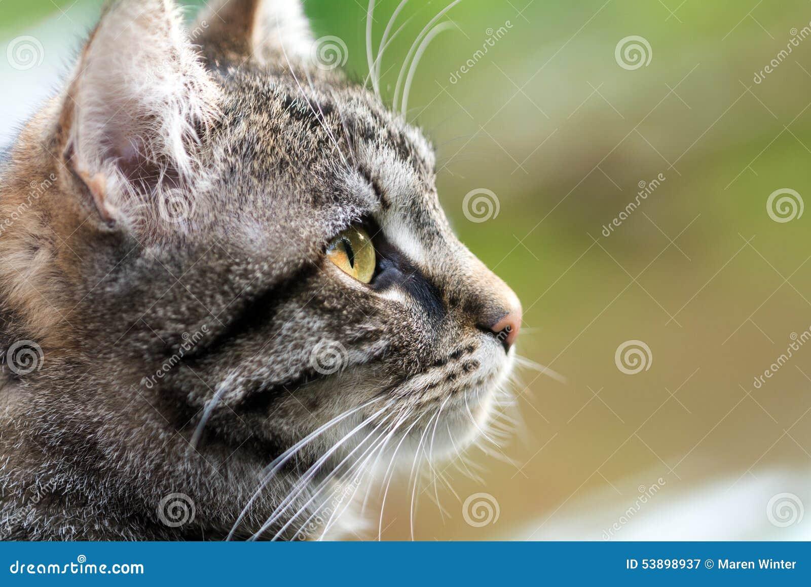 Katzen-Kopfprofil der getigerten Katze, Abschluss oben mit Kopienraum
