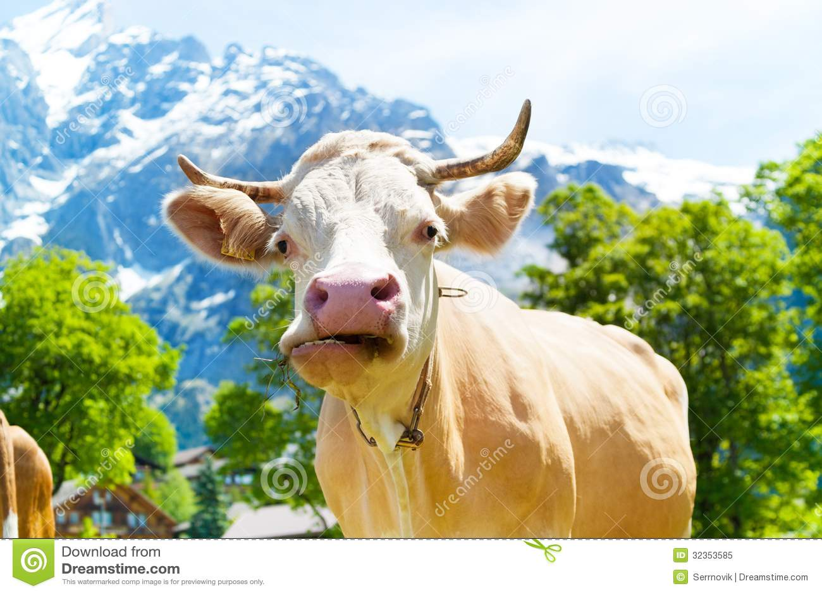 Kauen der Kuh