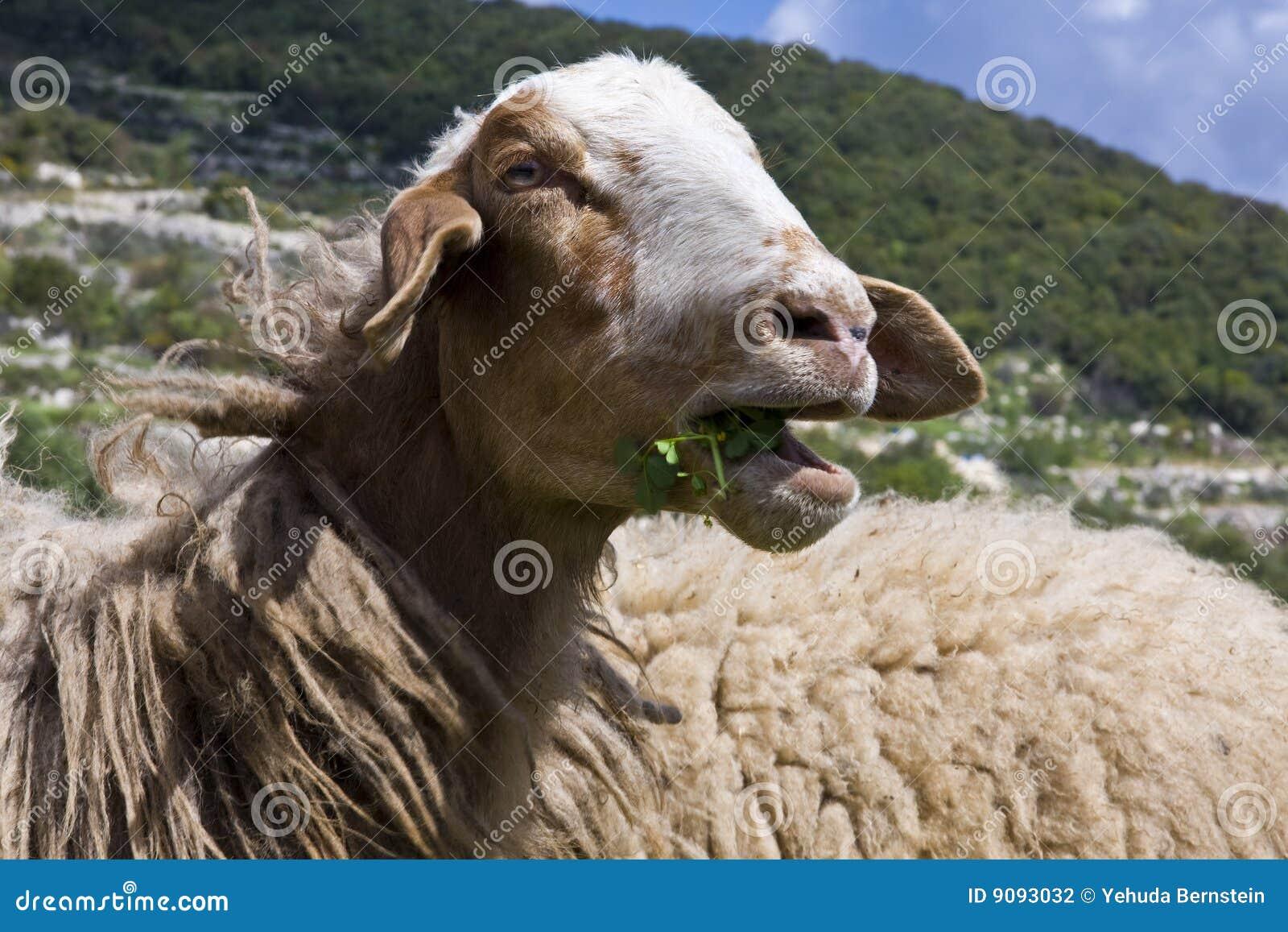 Kauen der Schafe