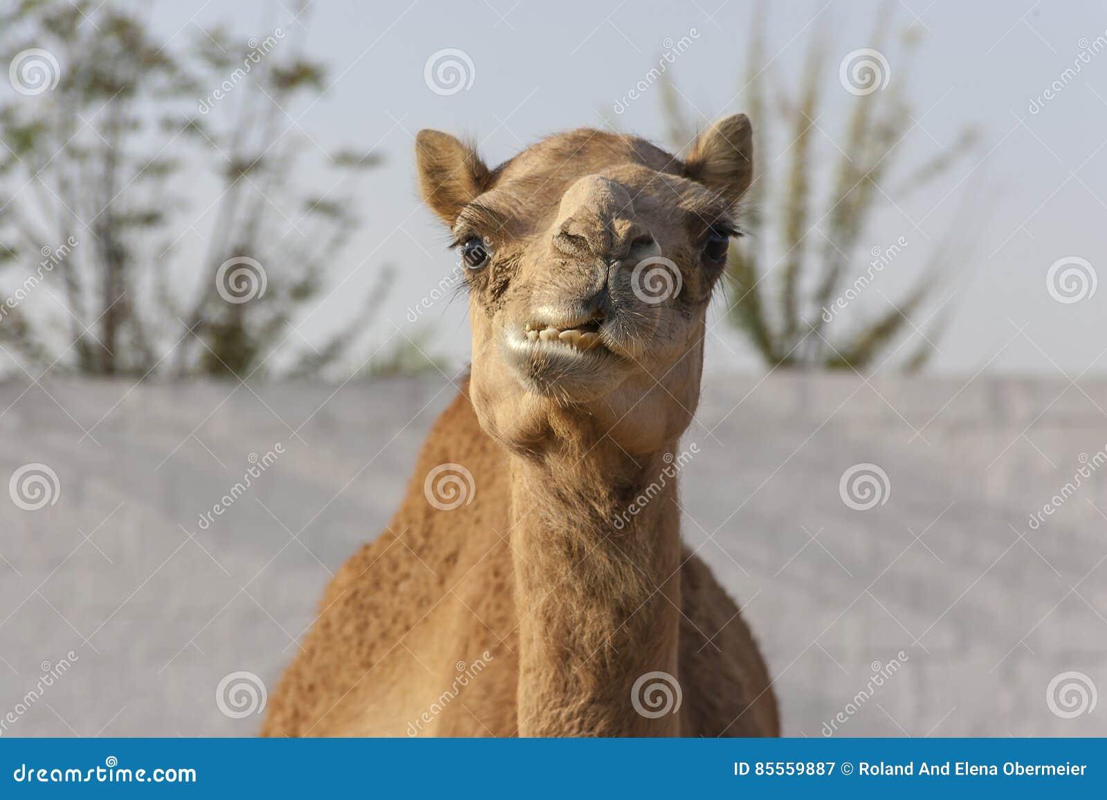 Kauen des Kamels