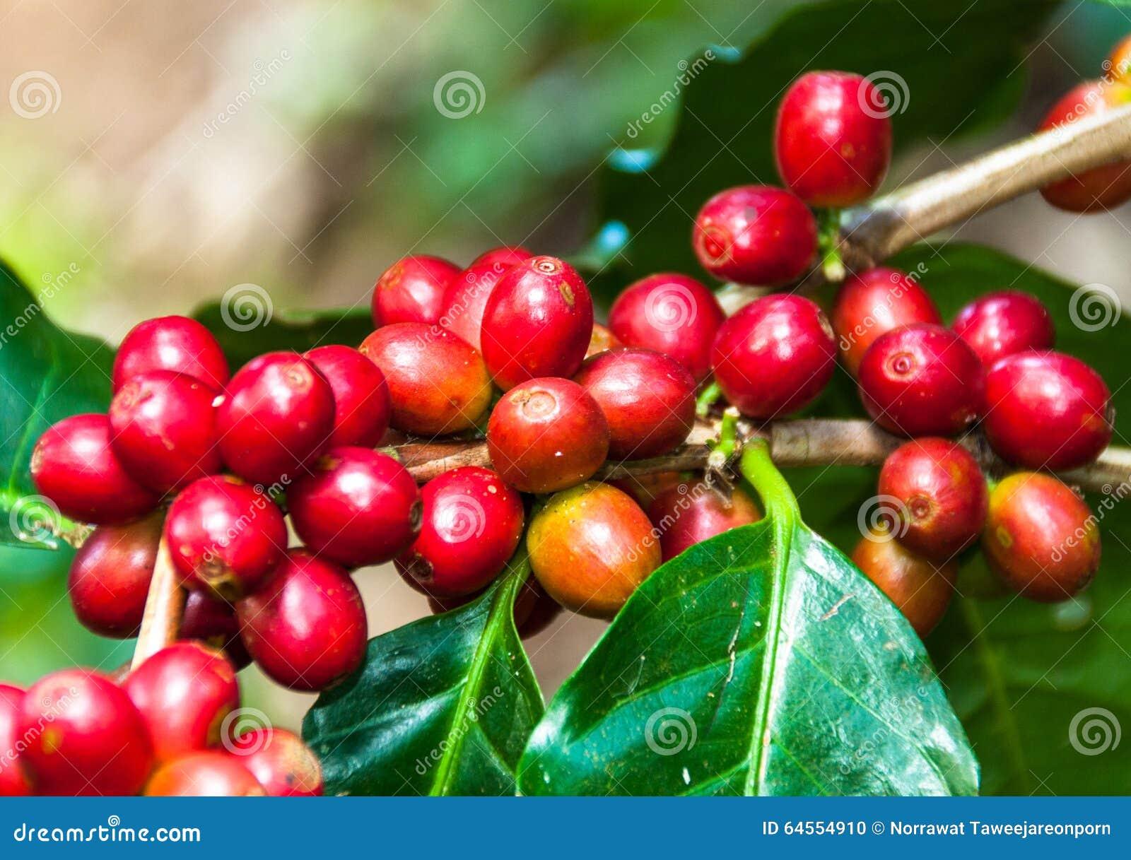 Kawowa fasola na drzewie