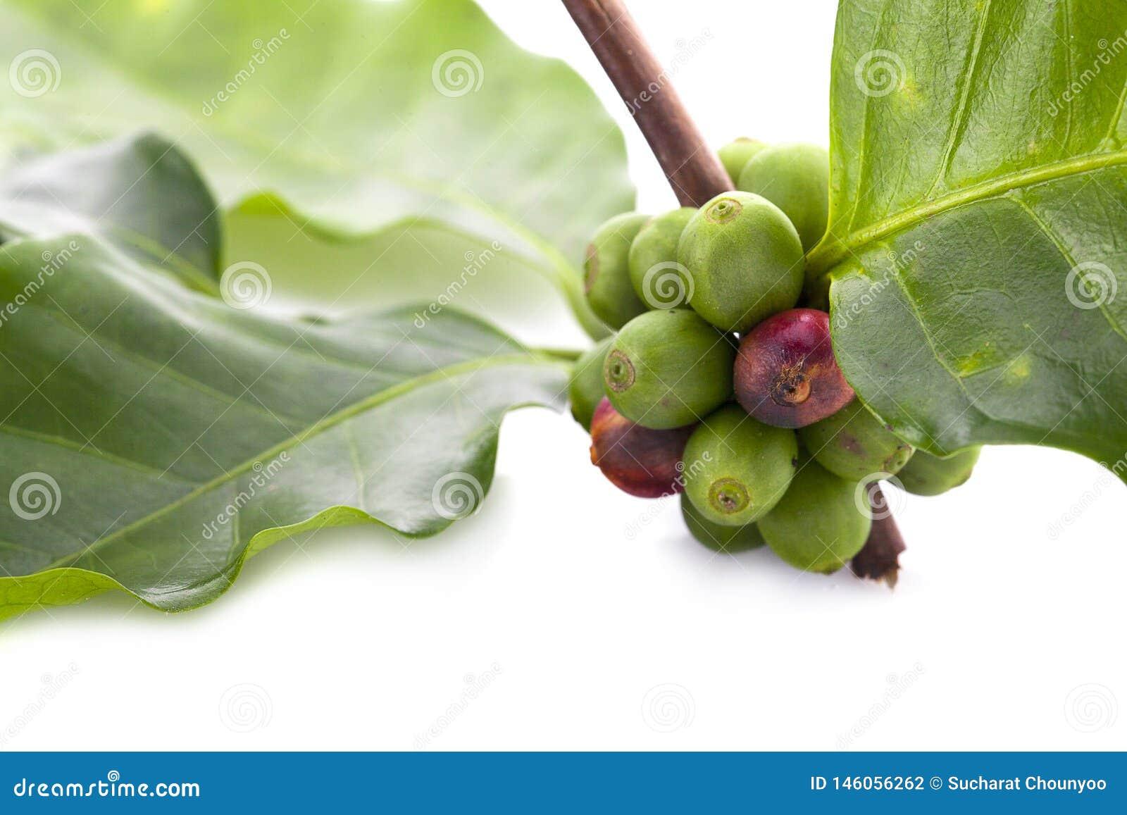Kawowe fasole dojrzewa, świeża kawa, czerwona jagody gałąź, przemysłu rolnictwo na drzewie w północy Thailand