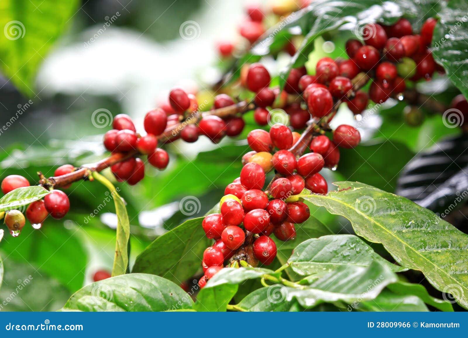 Kawowe fasole dojrzewa na drzewie