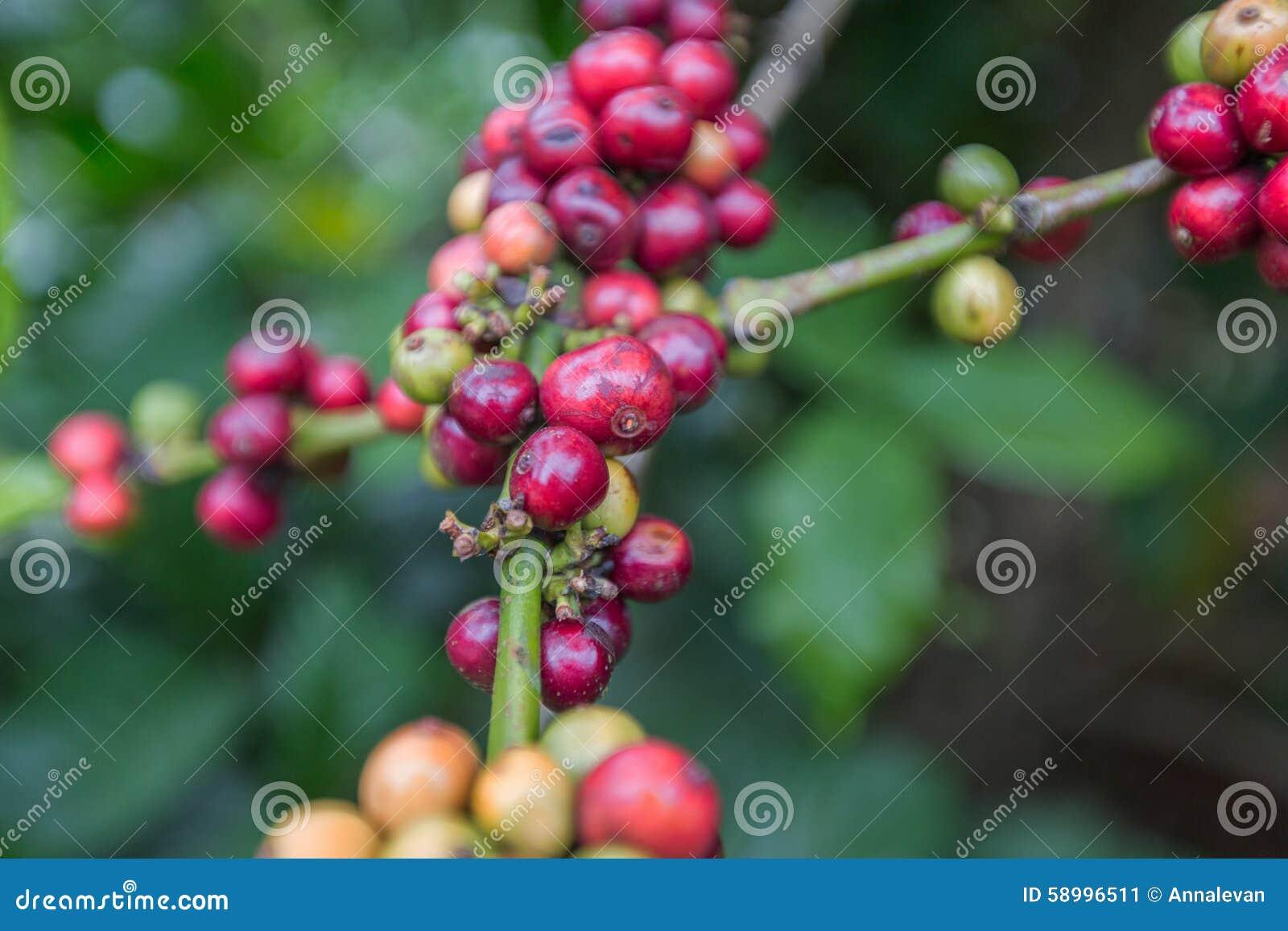 Kawowe fasole dojrzewa na drzewie w Dalat, Wietnam