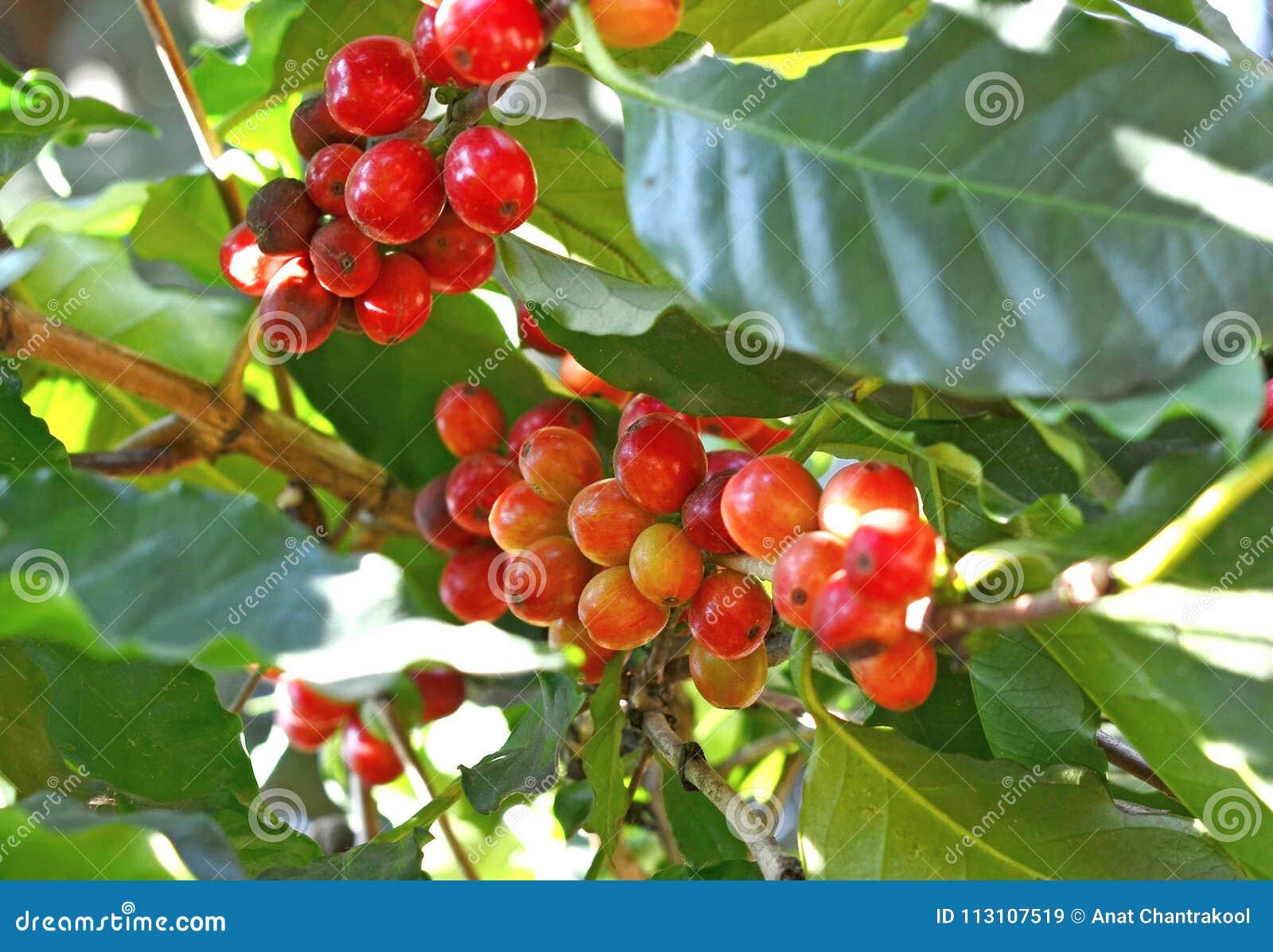 Kawowe fasole dojrzewa na drzewie w północy Thailand