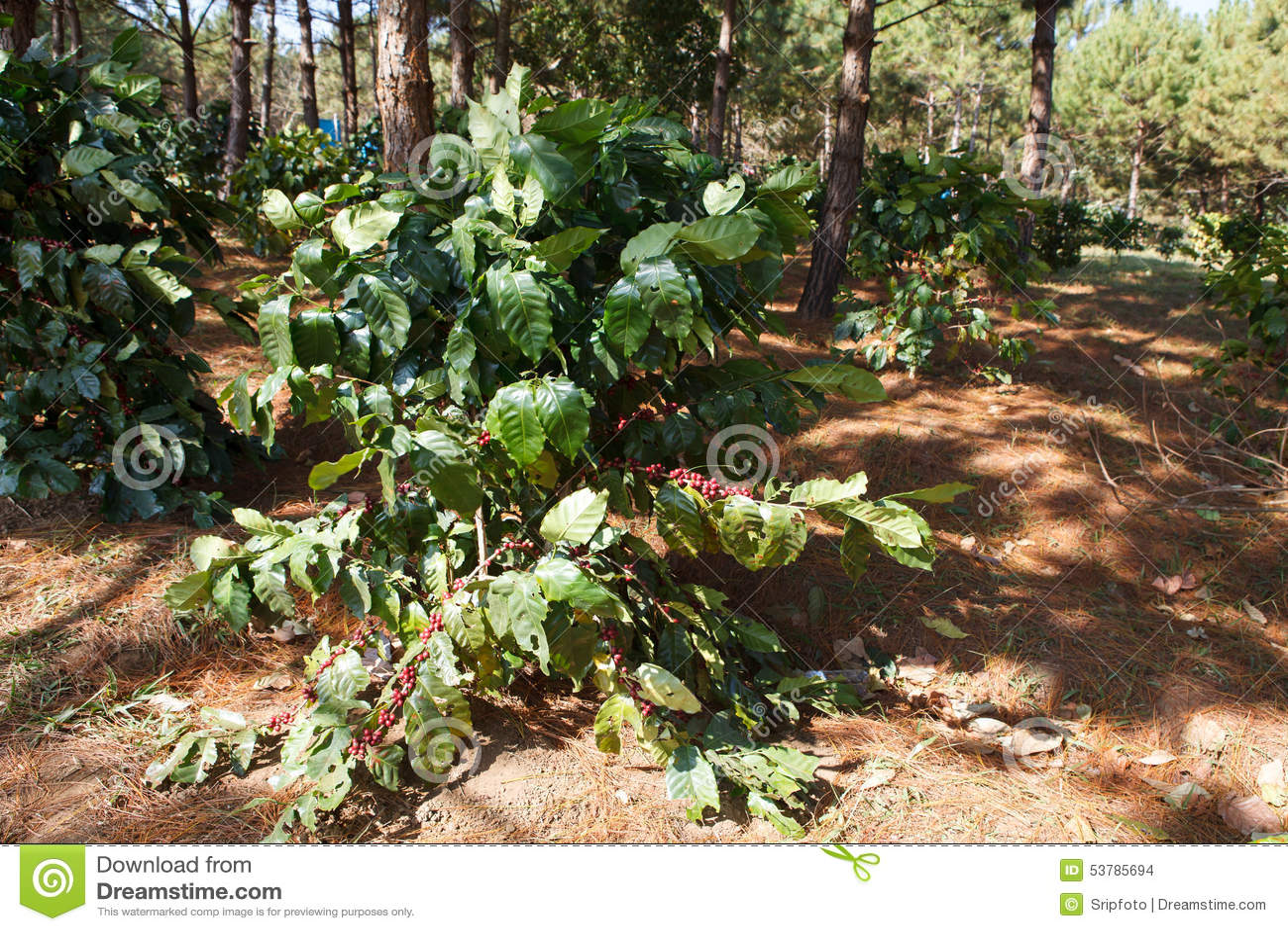 Kawowe fasole na drzewach