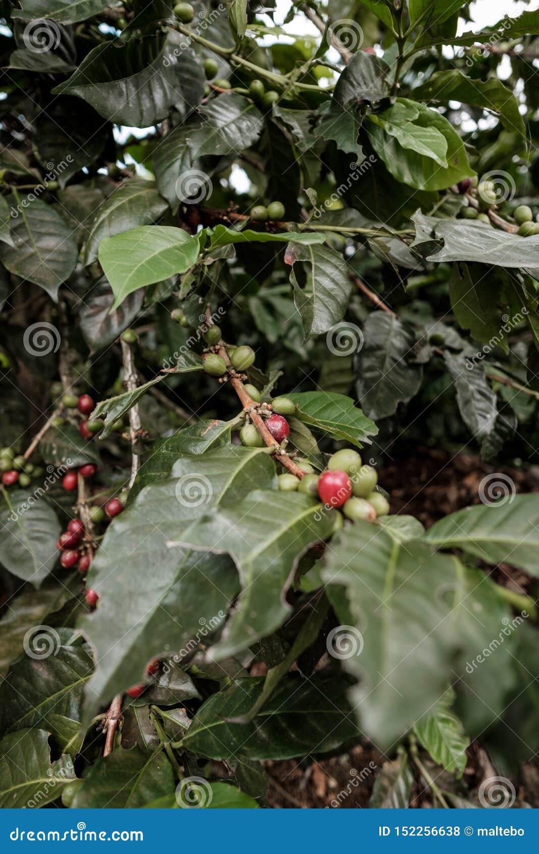 Kawowy drzewo w pobliżu kawowy gospodarstwo rolne w terenie górskim Kolumbia kawy region