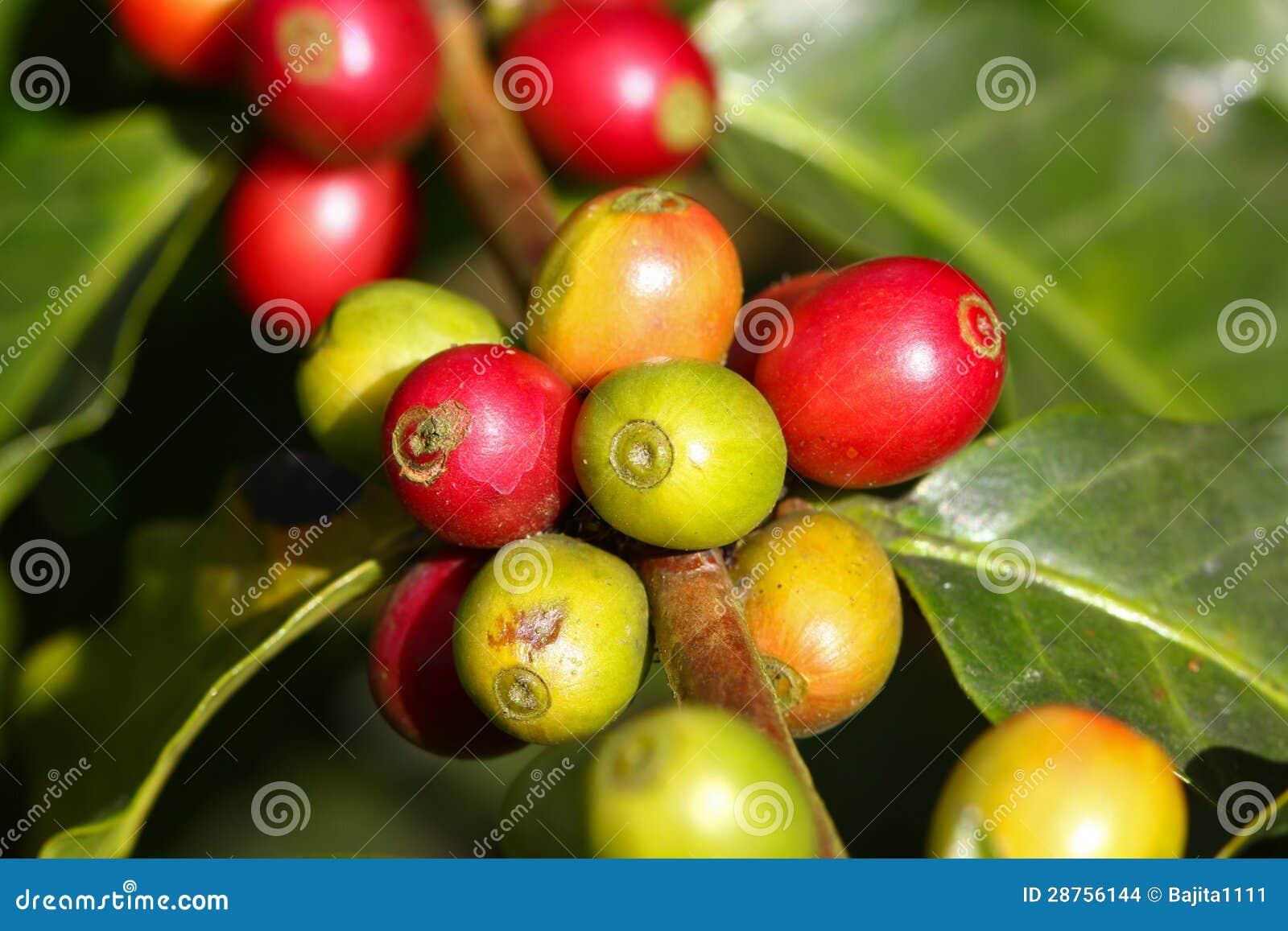 Kawowy drzewo z dojrzałymi jagodami na gospodarstwie rolnym