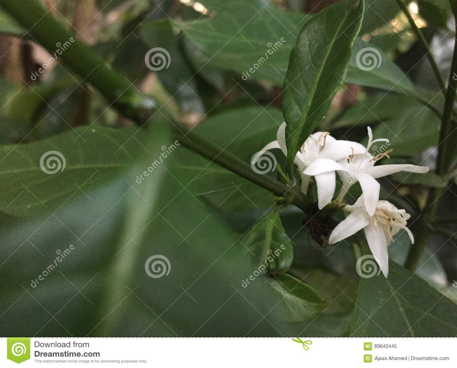 Kawowy kwiat w Sri lance