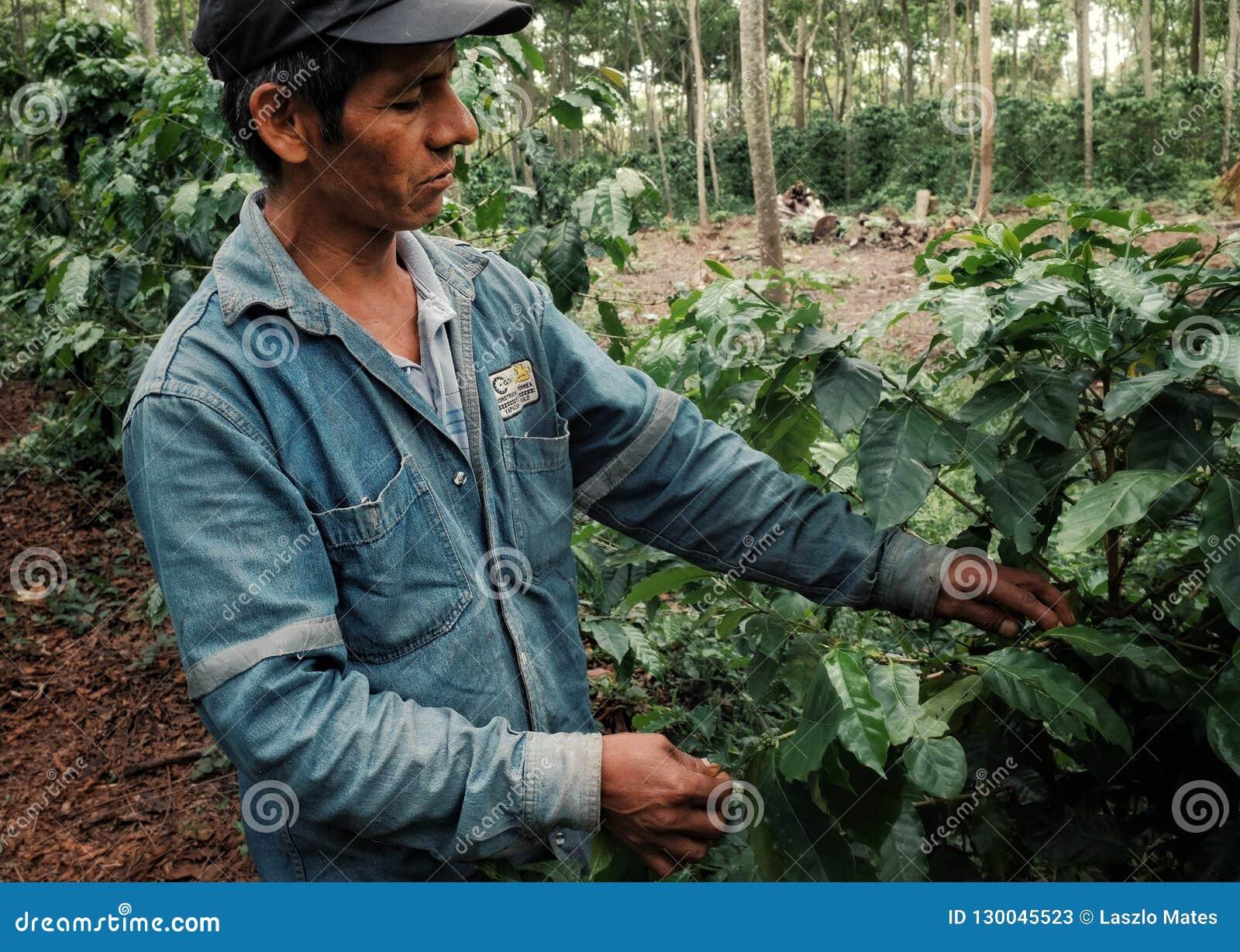 Kawowy rolnik sprawdza robusta rośliny przy jego plantacją