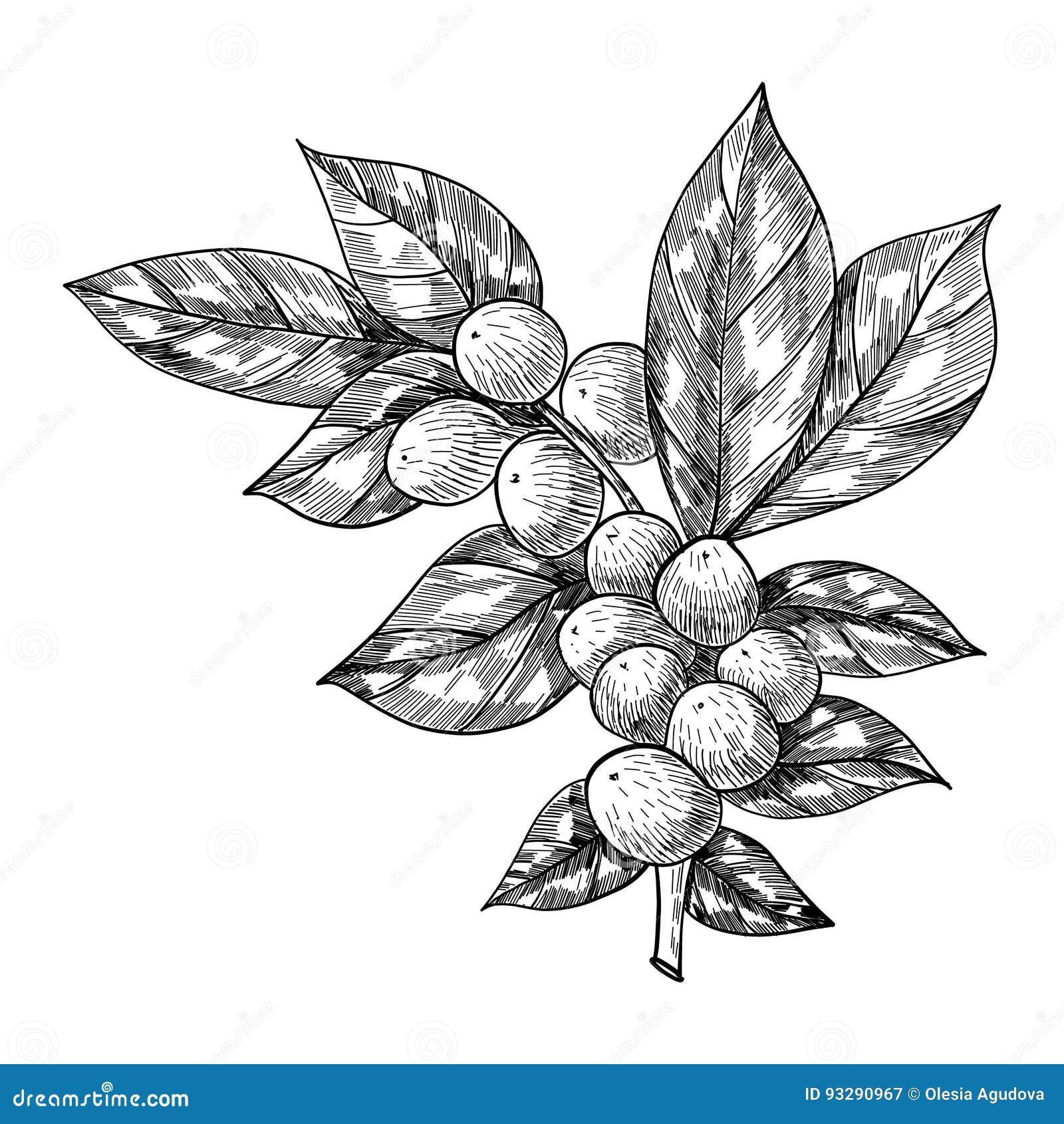 Kawy gałąź z liściem, jagoda, kawowa fasola, owoc, ziarno Naturalna organicznie kofeina Ręka rysująca wektorowa ilustracja