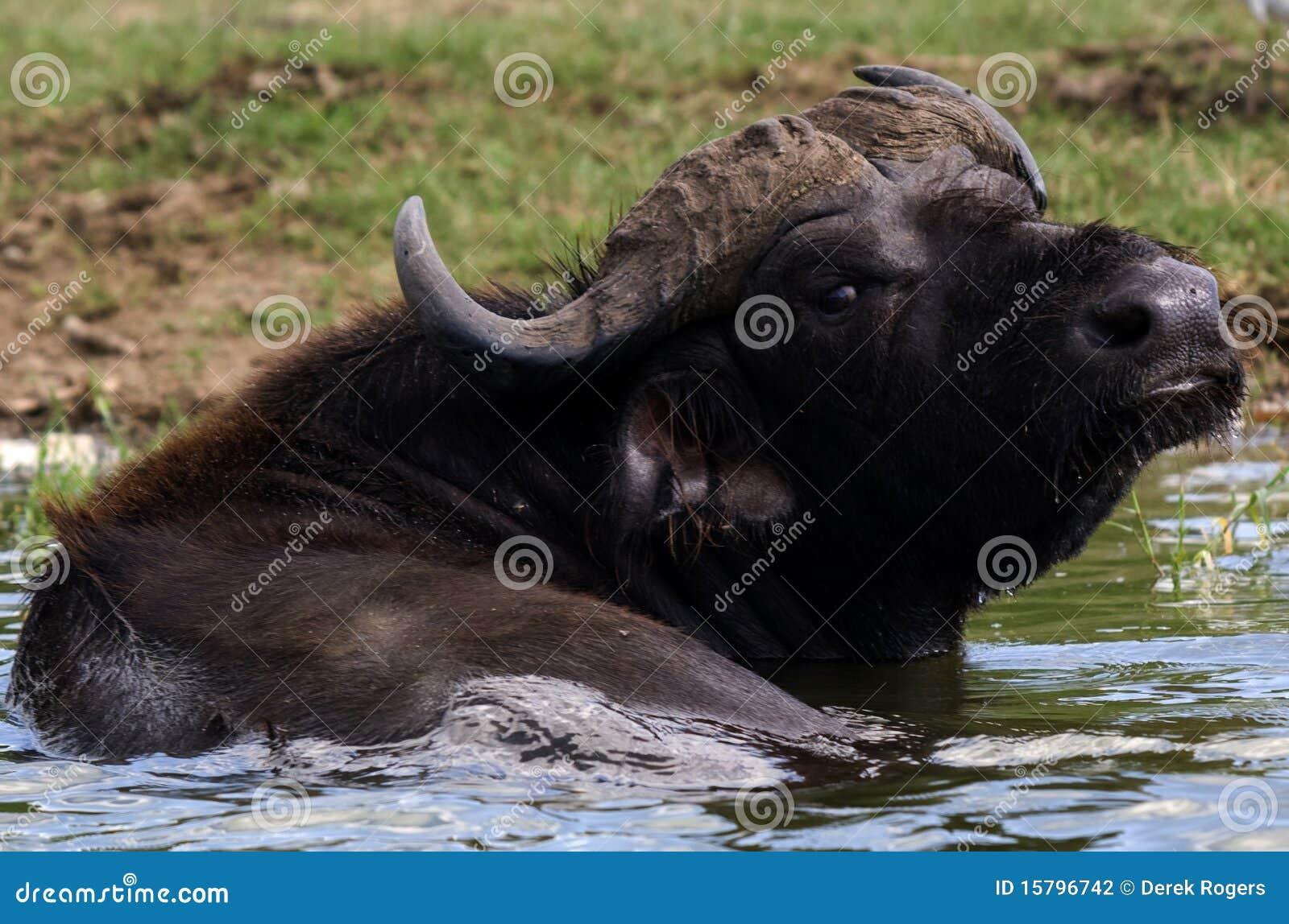 E Buffalo Channel Kazinga Channel Uganda...