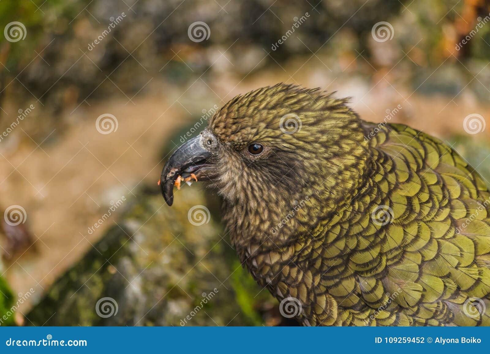 Kea -在汽车的当地新西兰鹦鹉,南岛,新西兰