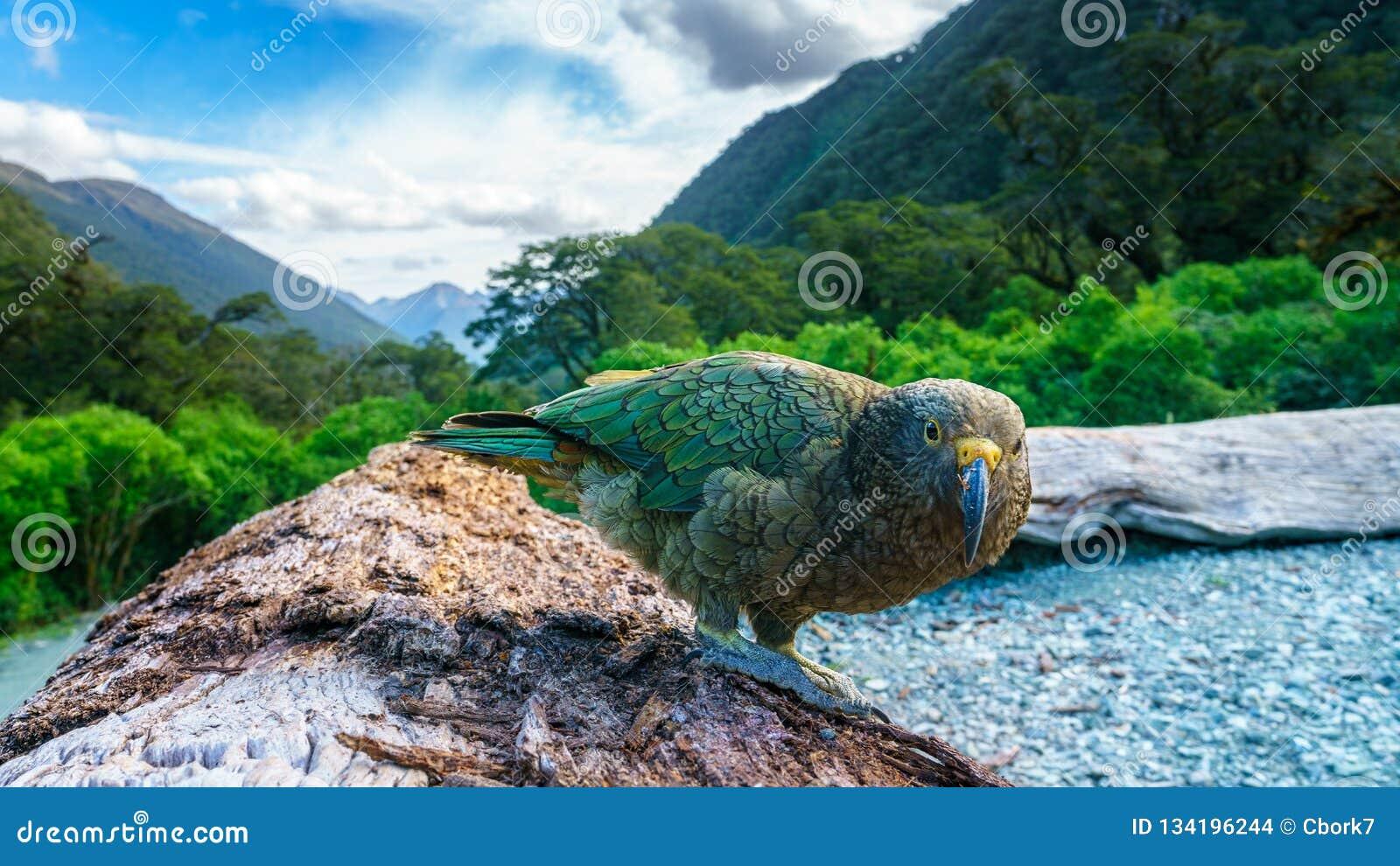 Kea, loro en un tronco de árbol, montañas meridionales, Nueva Zelanda de la montaña