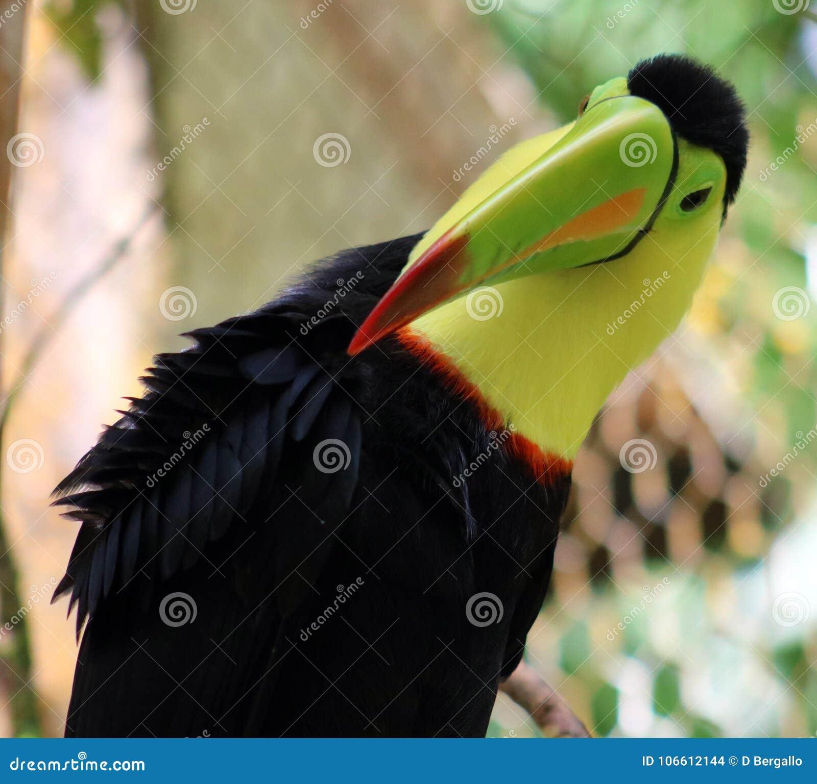 Keel billed colorful beautiful toucan in Costa Rica gorgeous tucan tucano