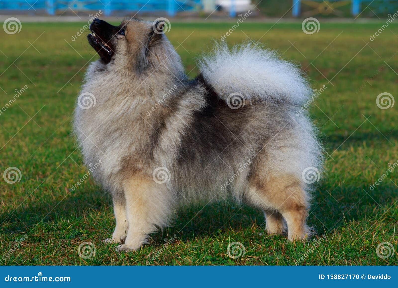 Keeshond della razza del cane