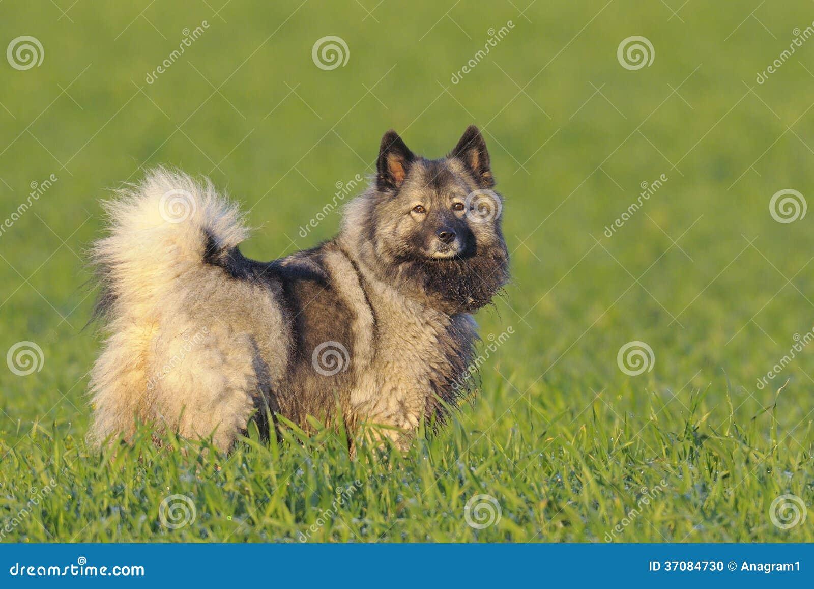 Keeshondhund