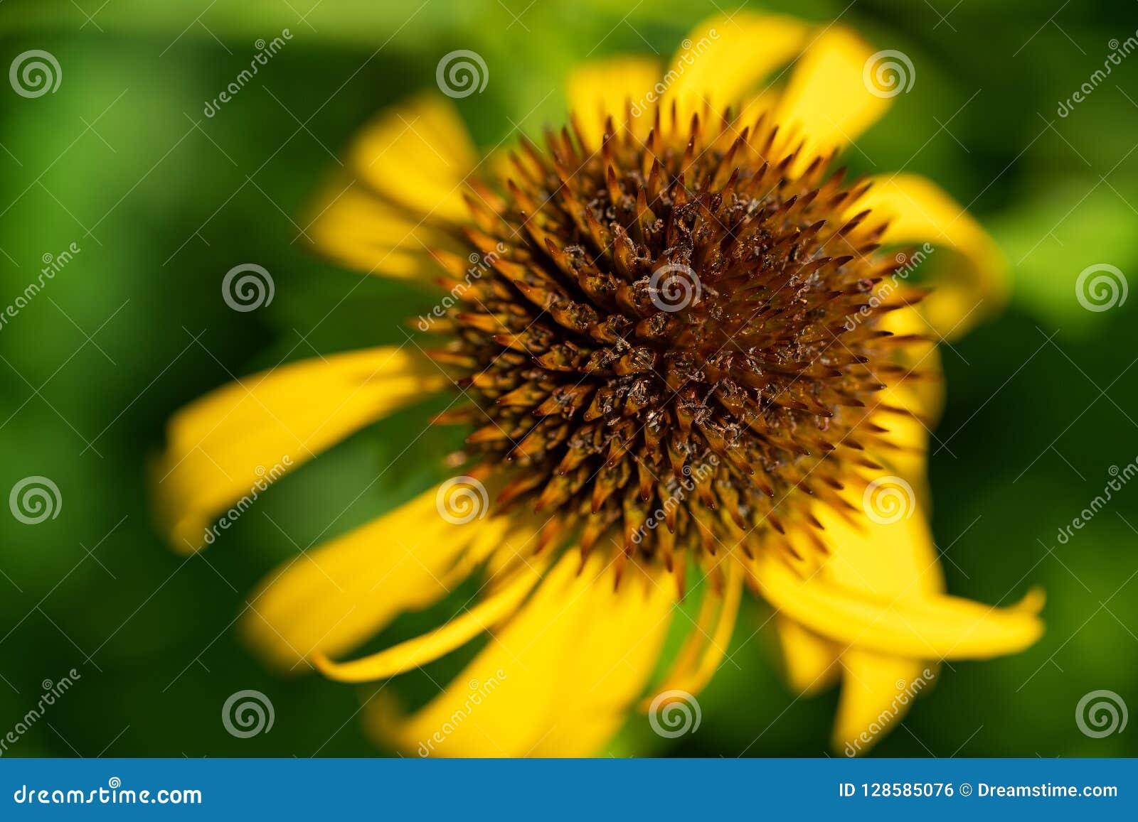 Kegelblumenabschluß oben im Sommer