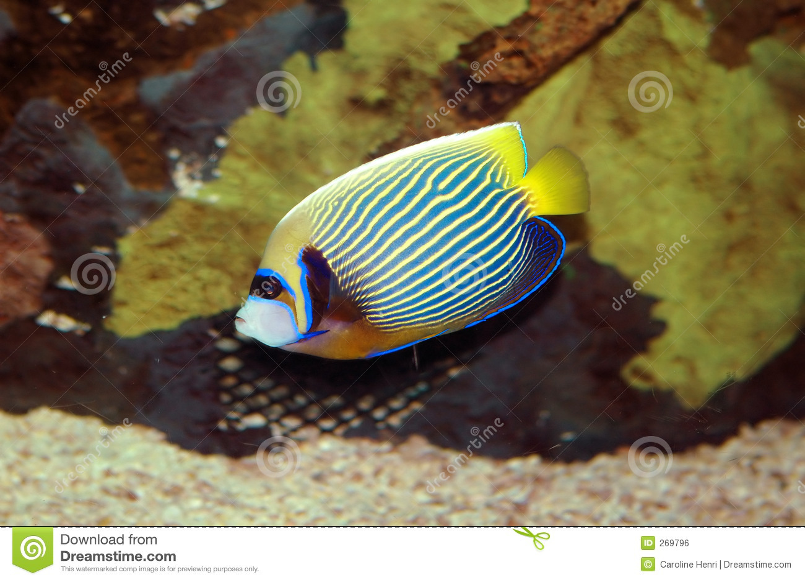 Kejsarefisk