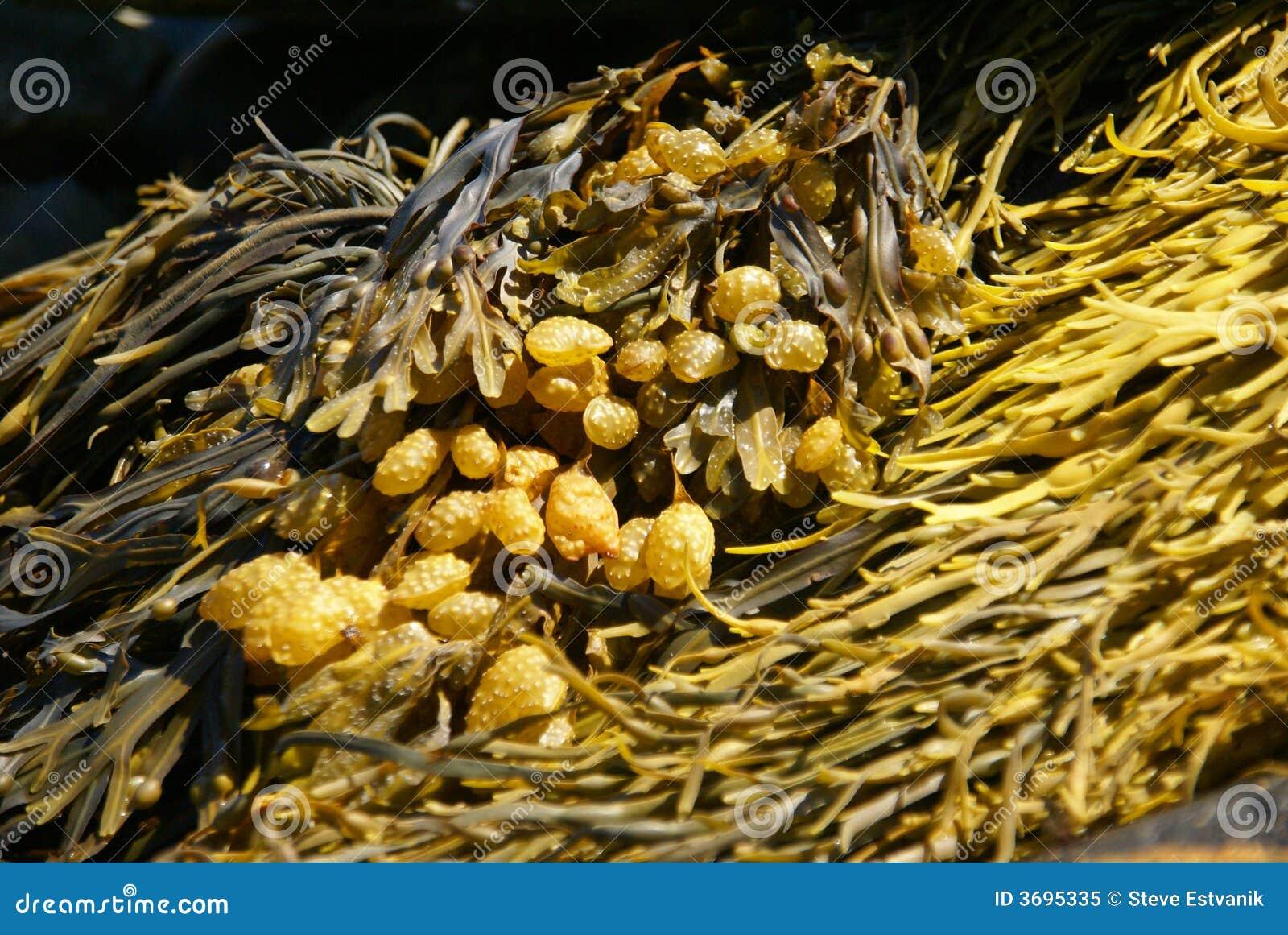 Kelp amarelo & marrom do sumário -